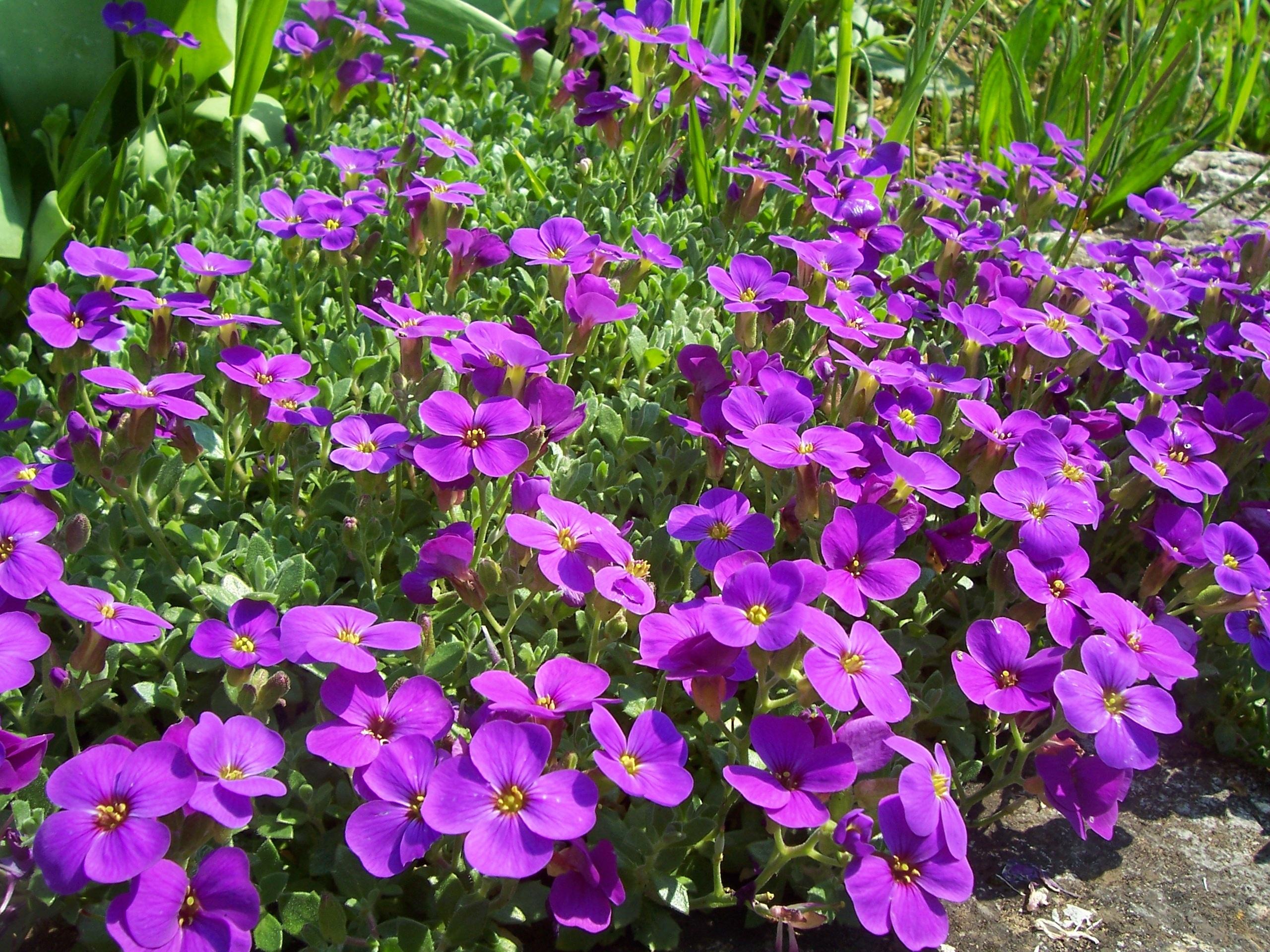 Gratis billeder : blomst, lilla, forår, flora, wildflower, blomster, blomsterseng, viola ...