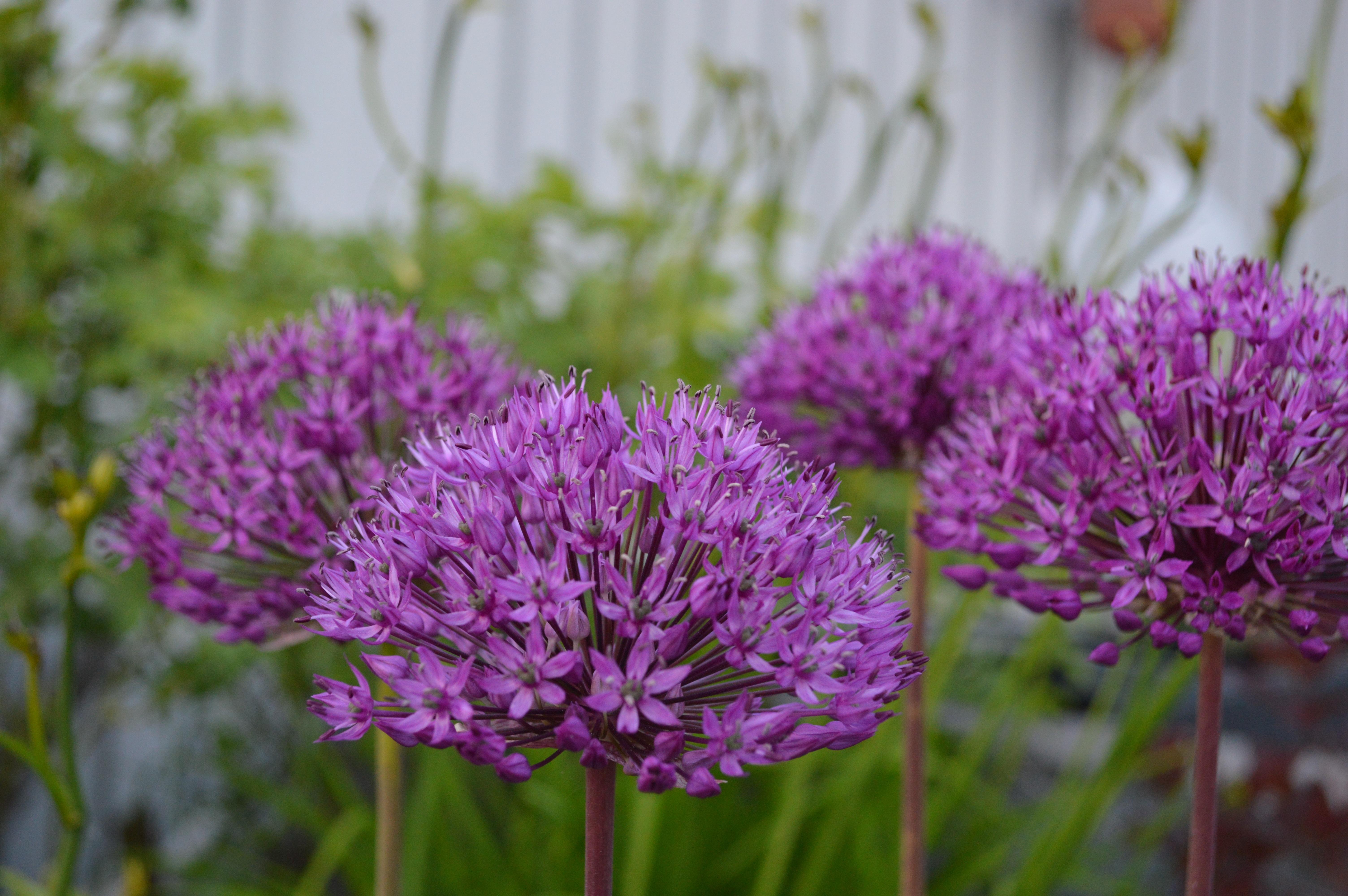 kostenlose foto blume lila fr hling kraut produzieren botanik garten nahansicht flora. Black Bedroom Furniture Sets. Home Design Ideas