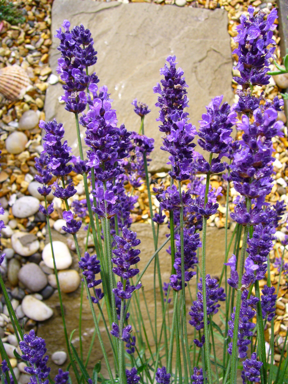 Images gratuites fleur violet t herbe botanique jardin flore lavande fleur sauvage - Plants de lavande a vendre ...