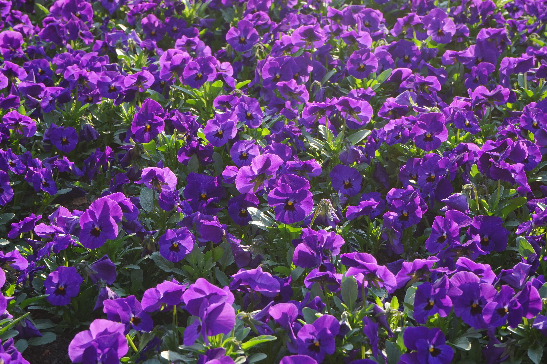 Free images purple wildflower flowers ornamental plants pansy plant flower purple wildflower flowers violet ornamental plants viola bellflower pansy bl tenmeer flowering plant violaceae izmirmasajfo