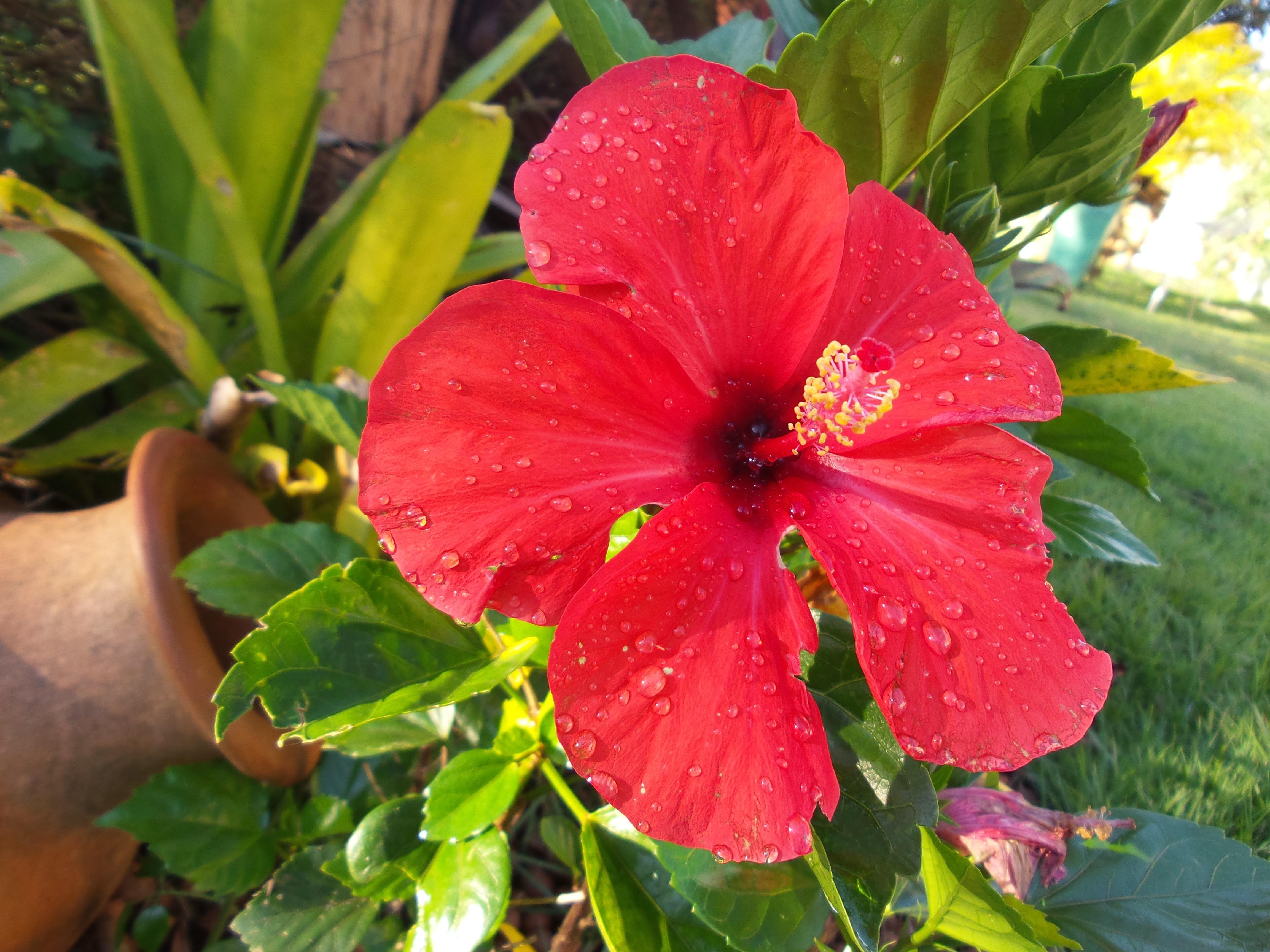 kostenlose foto rot botanik garten flora leben rote blume strauch leidenschaft. Black Bedroom Furniture Sets. Home Design Ideas