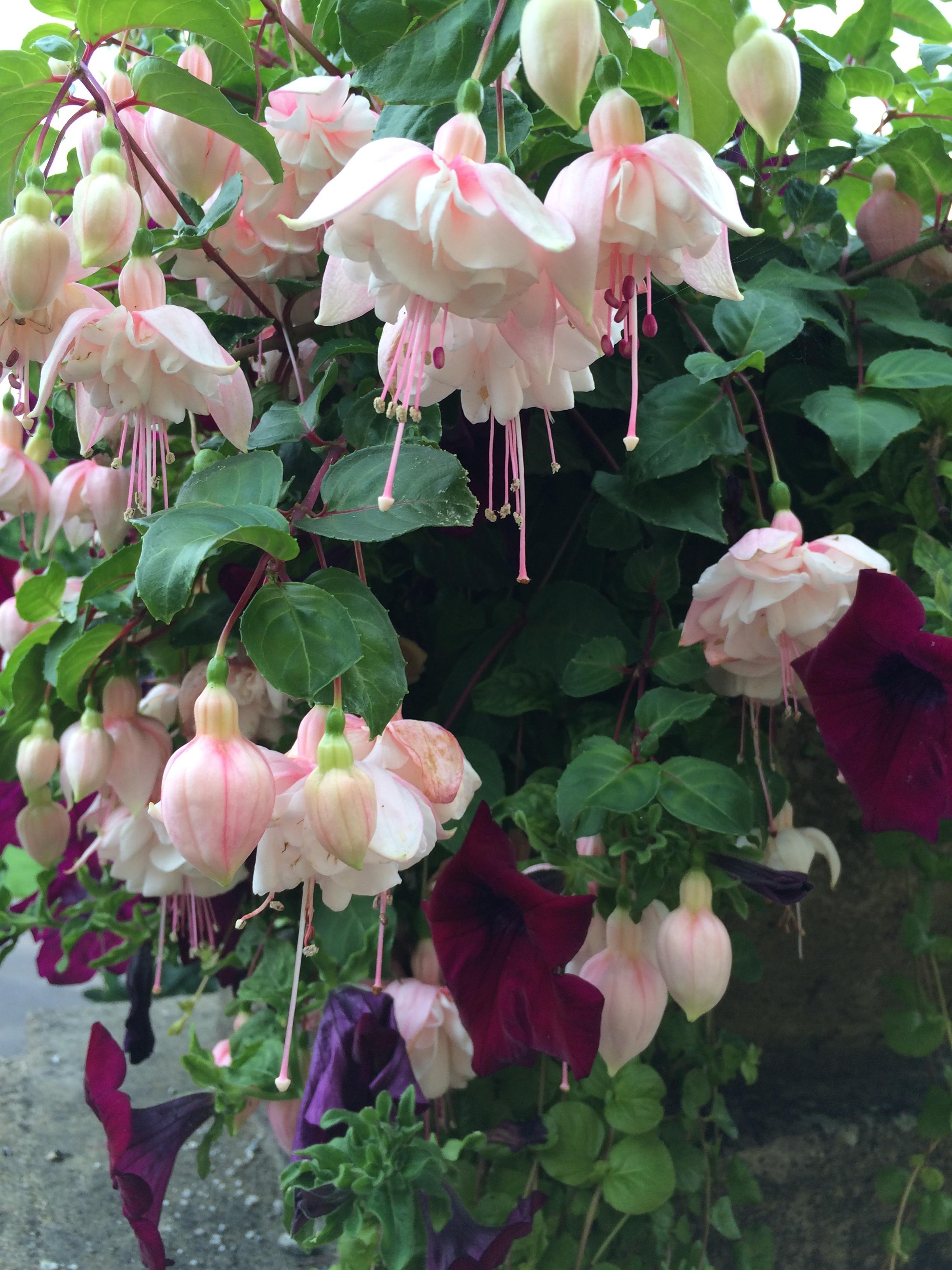 images gratuites : fleur, botanique, arbuste, fuchsia, plante à