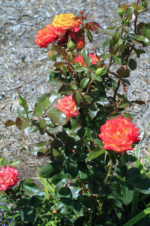 Free Images Flower Red Botany Yellow Flora Plants Flowers Shrub Blooms Multicoloured Floribunda Flowering Plant Garden Roses Rose