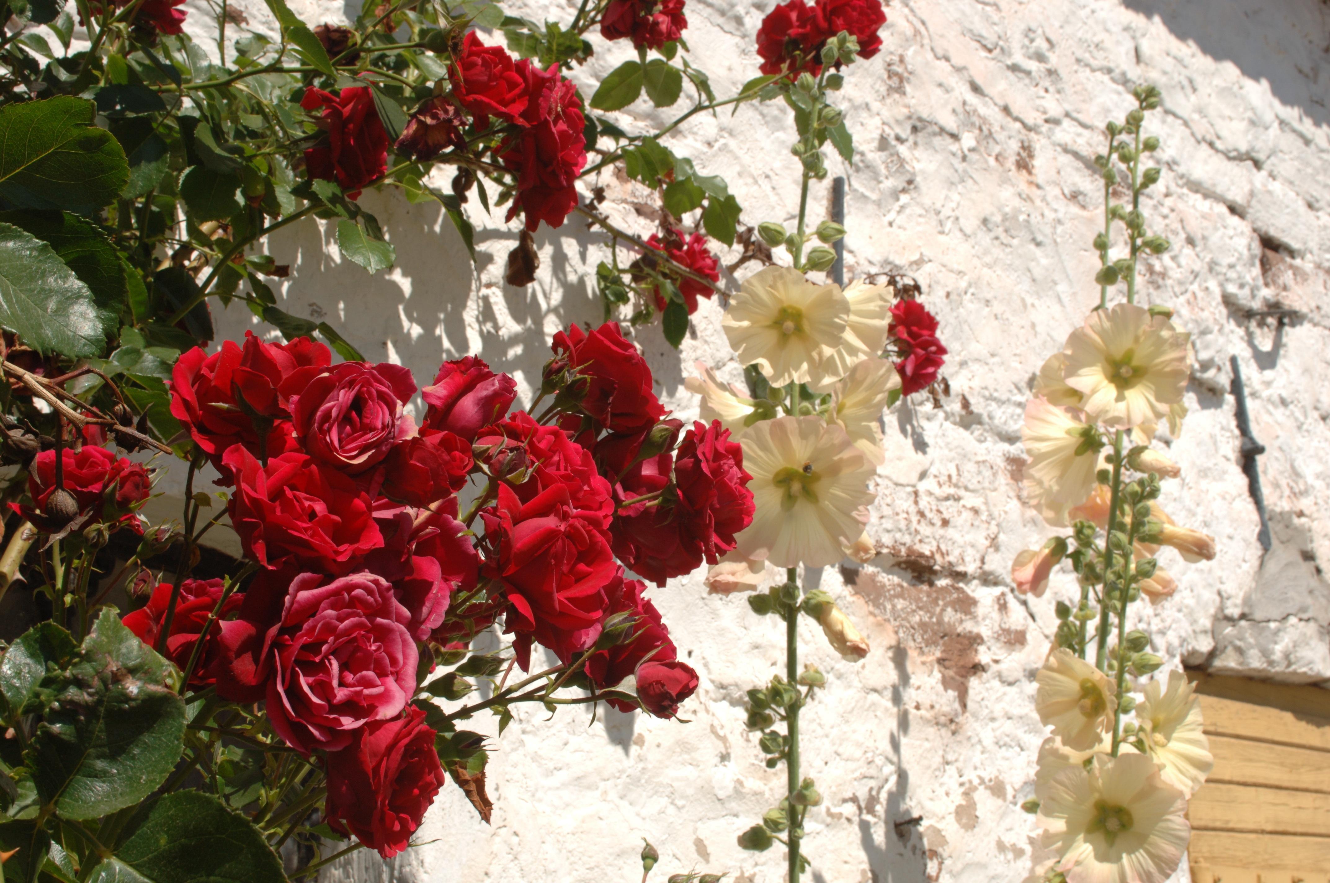 images gratuites : fleur, rose rouge, des roses, fleuriste, ros