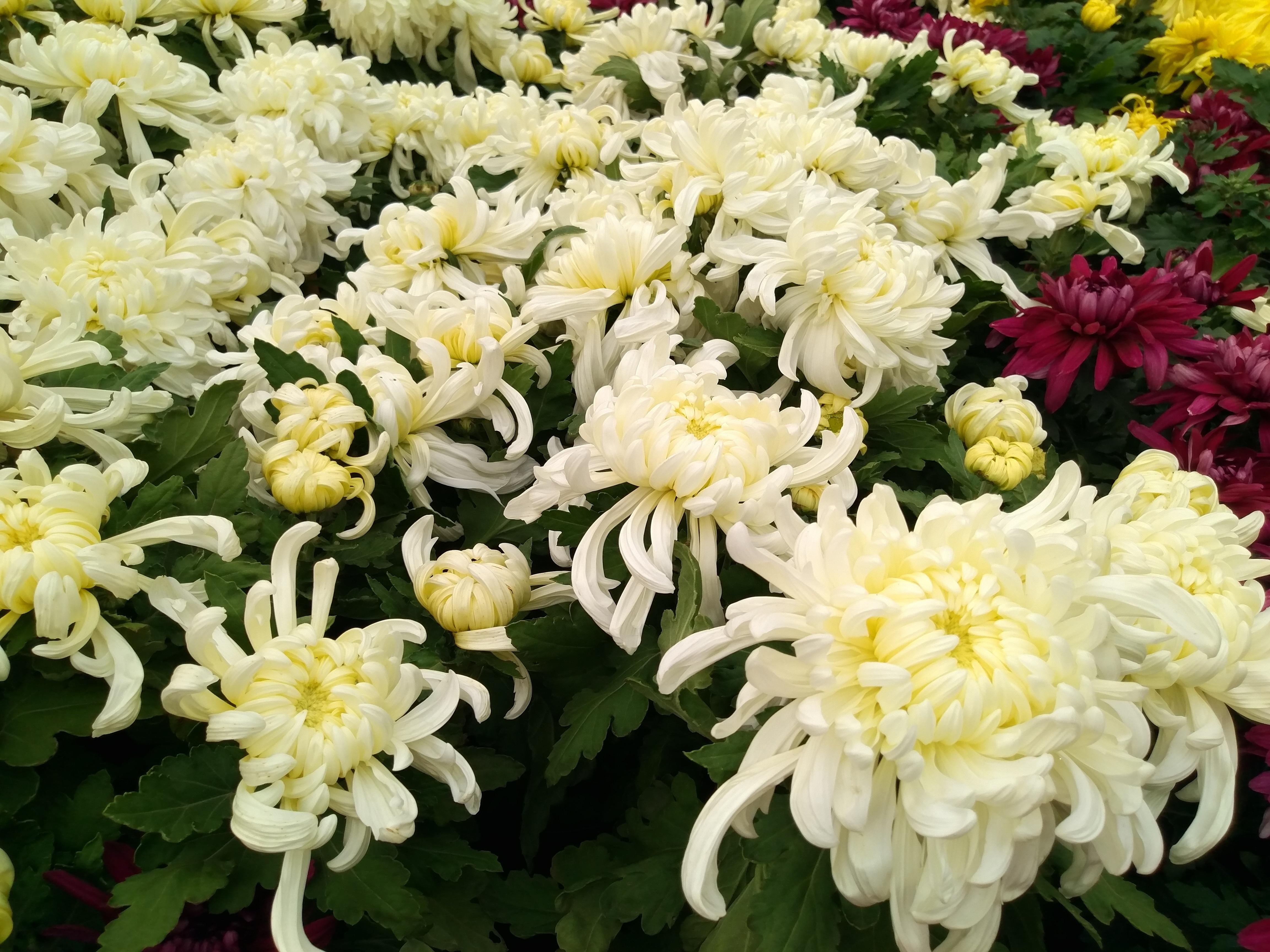 Banco de imagens plantar flor arbusto cris ntemo - Como cultivar crisantemos ...