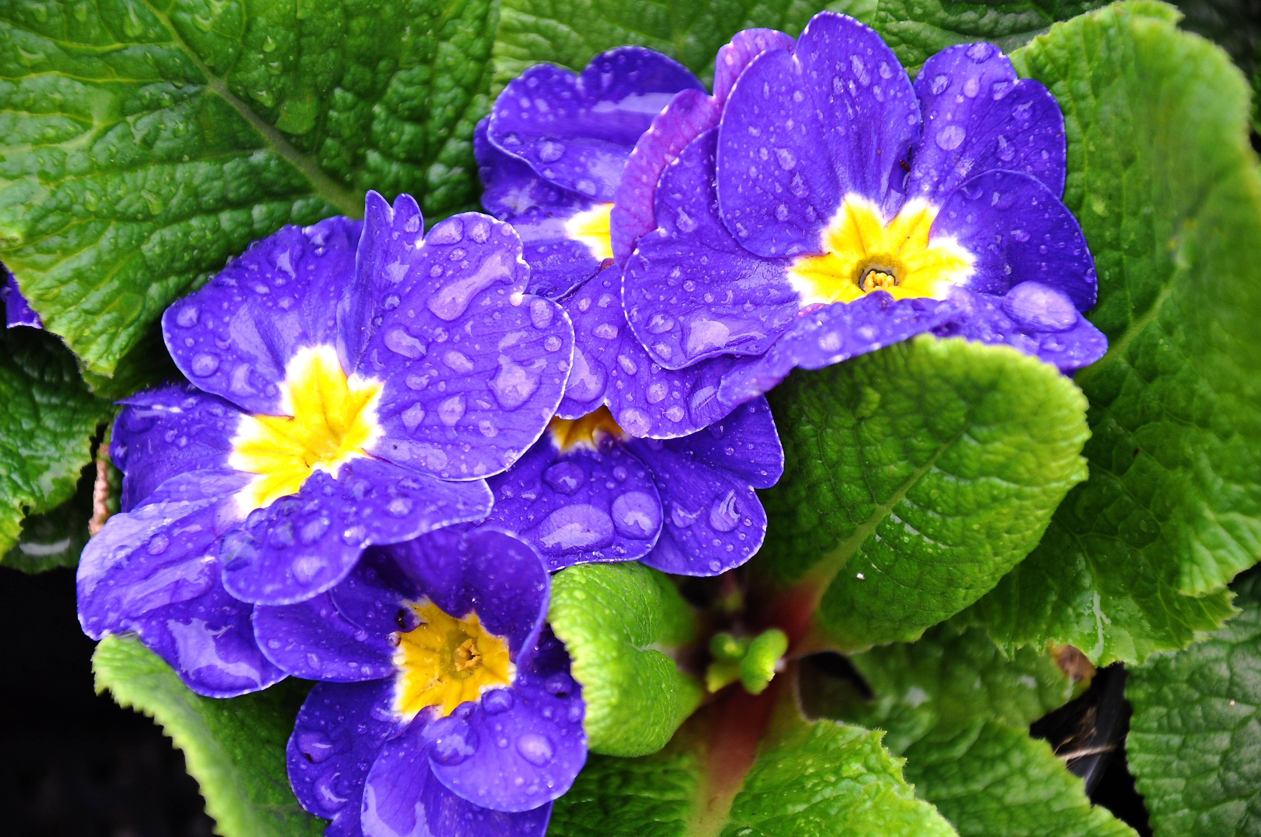 images gratuites bleu fleur de printemps alto primula pens e plante fleurs plante. Black Bedroom Furniture Sets. Home Design Ideas