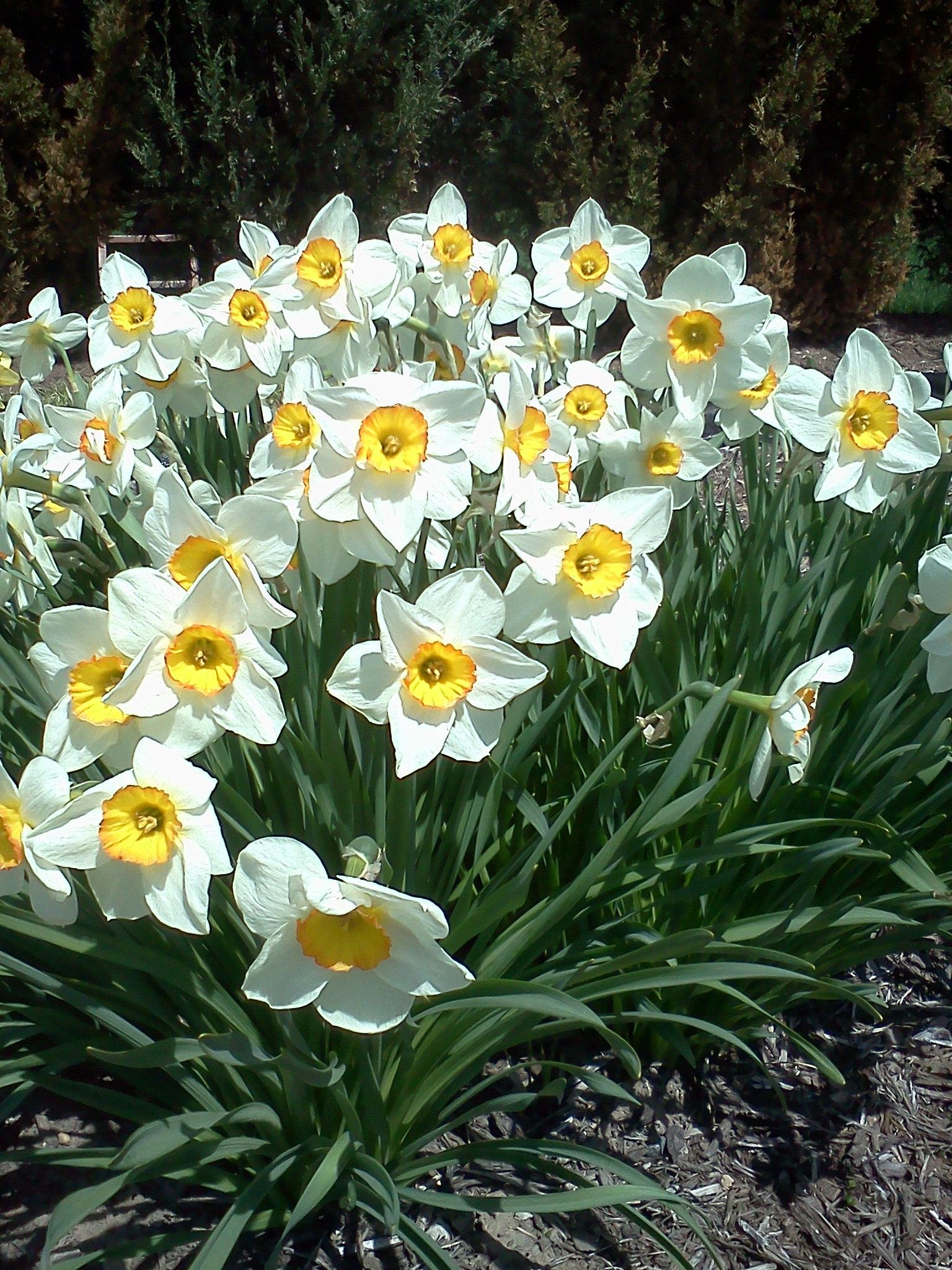 иногда свет картинки весенние цветы нарциссы разрешение