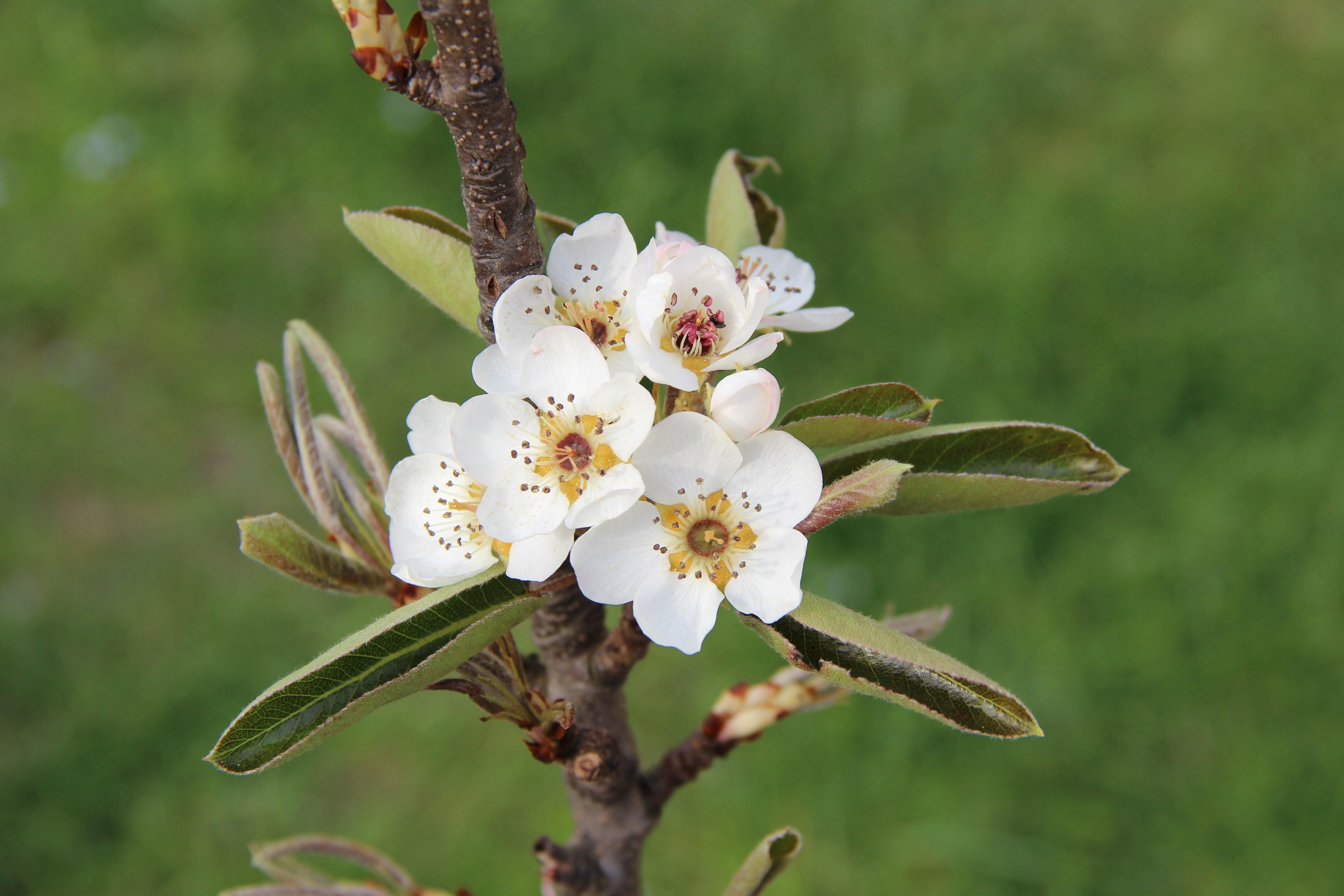 Images Gratuites Fleur Printemps Flore Arbre Fruitier Fleur