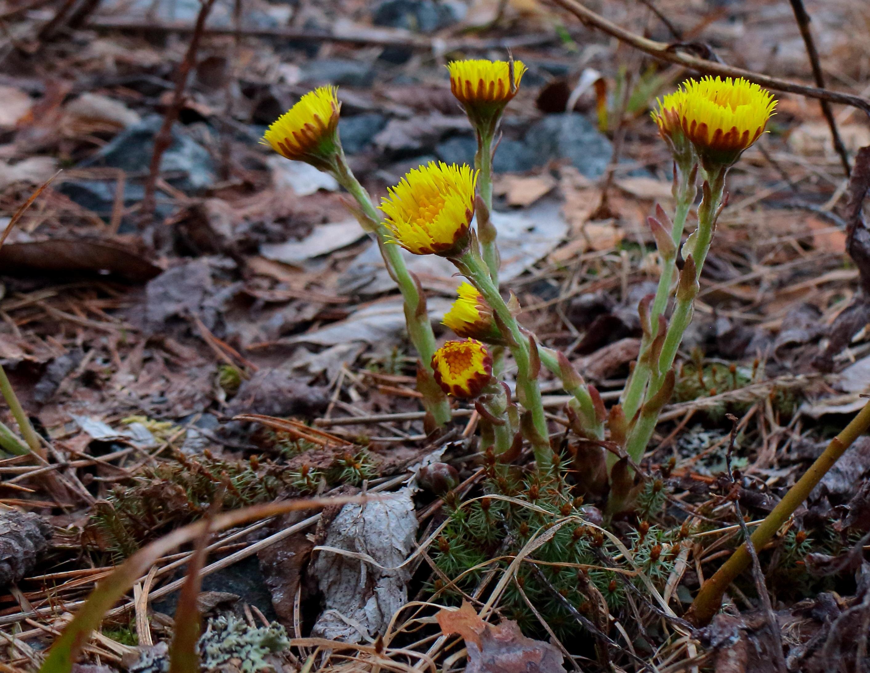 Kostenlose Foto Pflanze Fruhling Flora Pflanzen Gelbe Blume