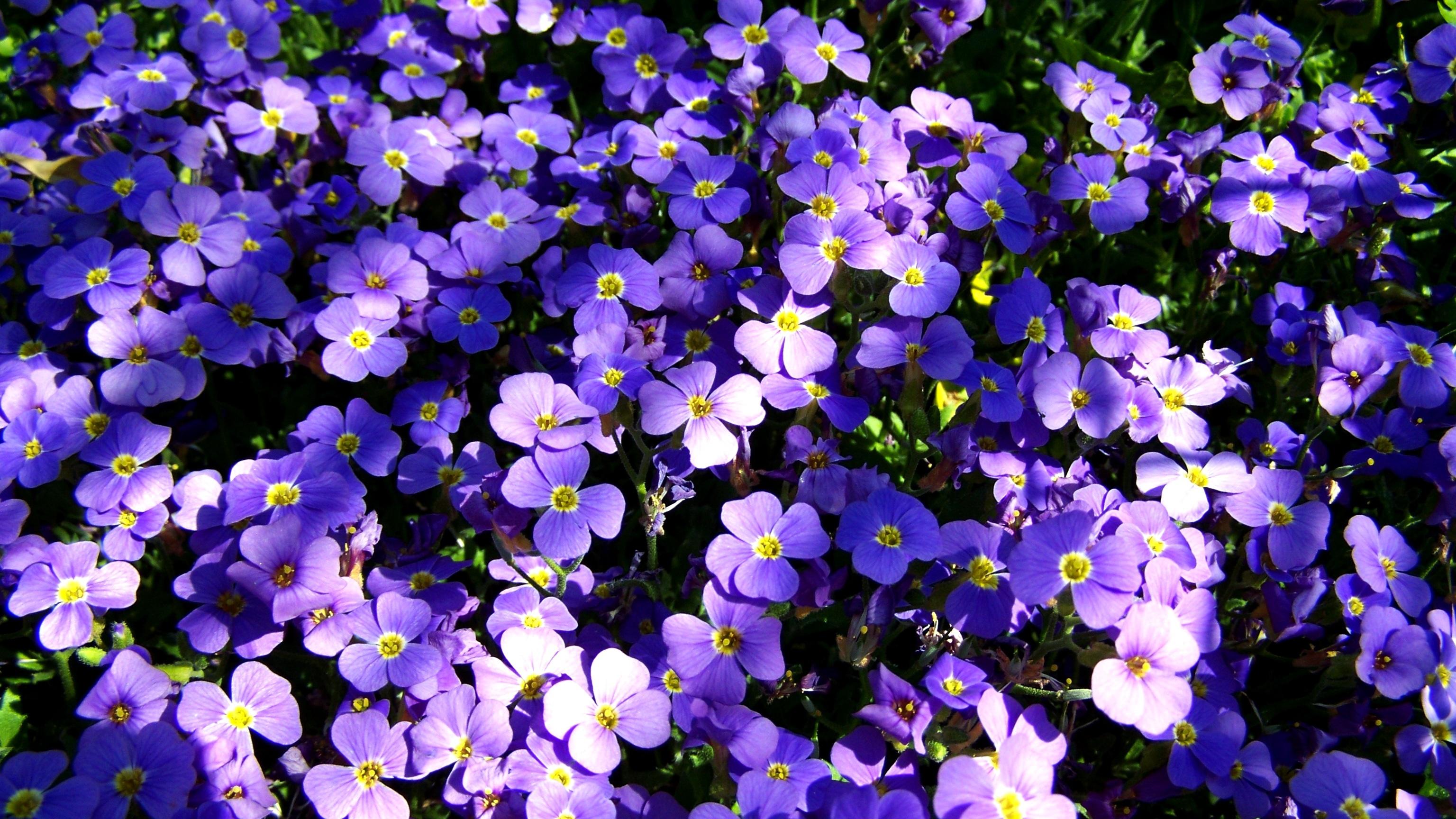 Fotos Gratis : Primavera, Flora, Flor Silvestre, No Me