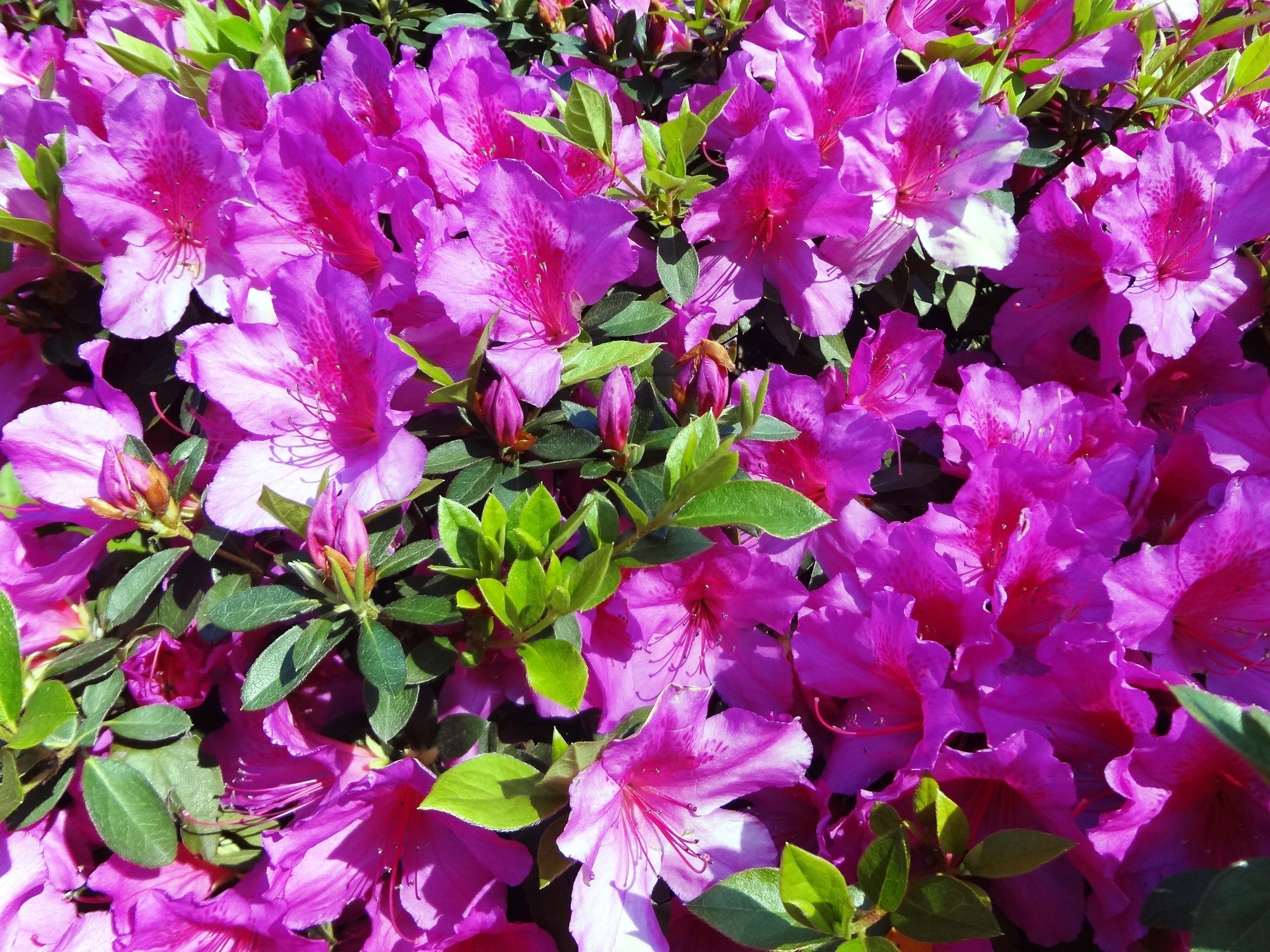planta flor primavera flores arbusto rododendro flores de primavera azalea planta floreciendo azalea rosa planta anual