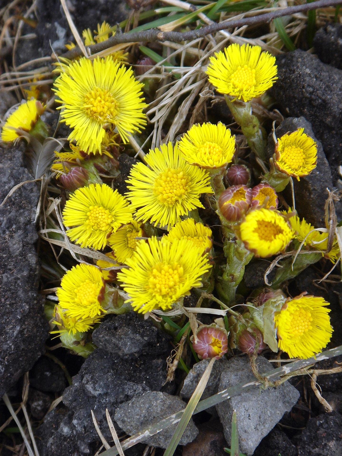 Фото цветы мать-и-мачеха