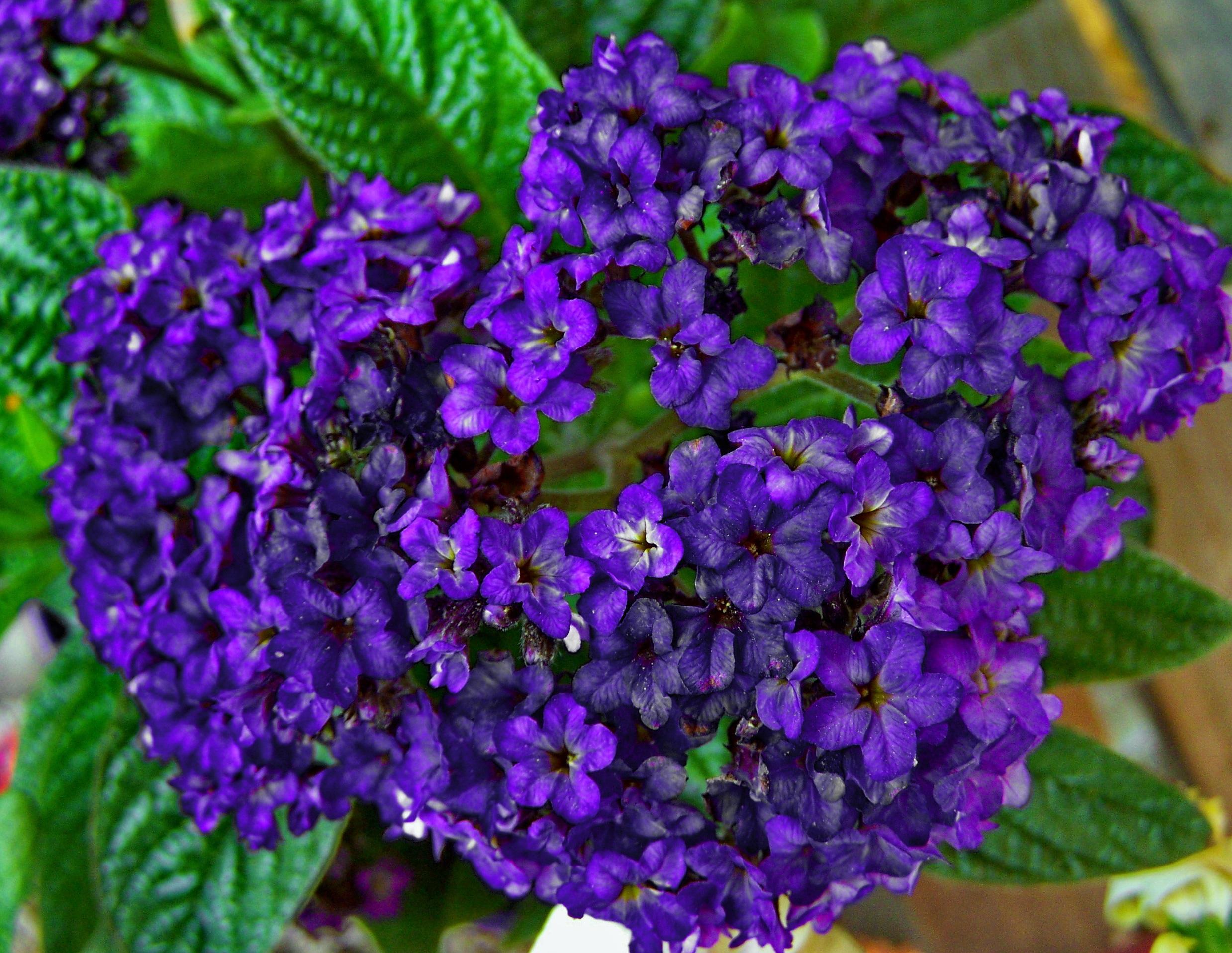 Images Gratuites : printemps, hortensia, fleur bleue, jardin de ...