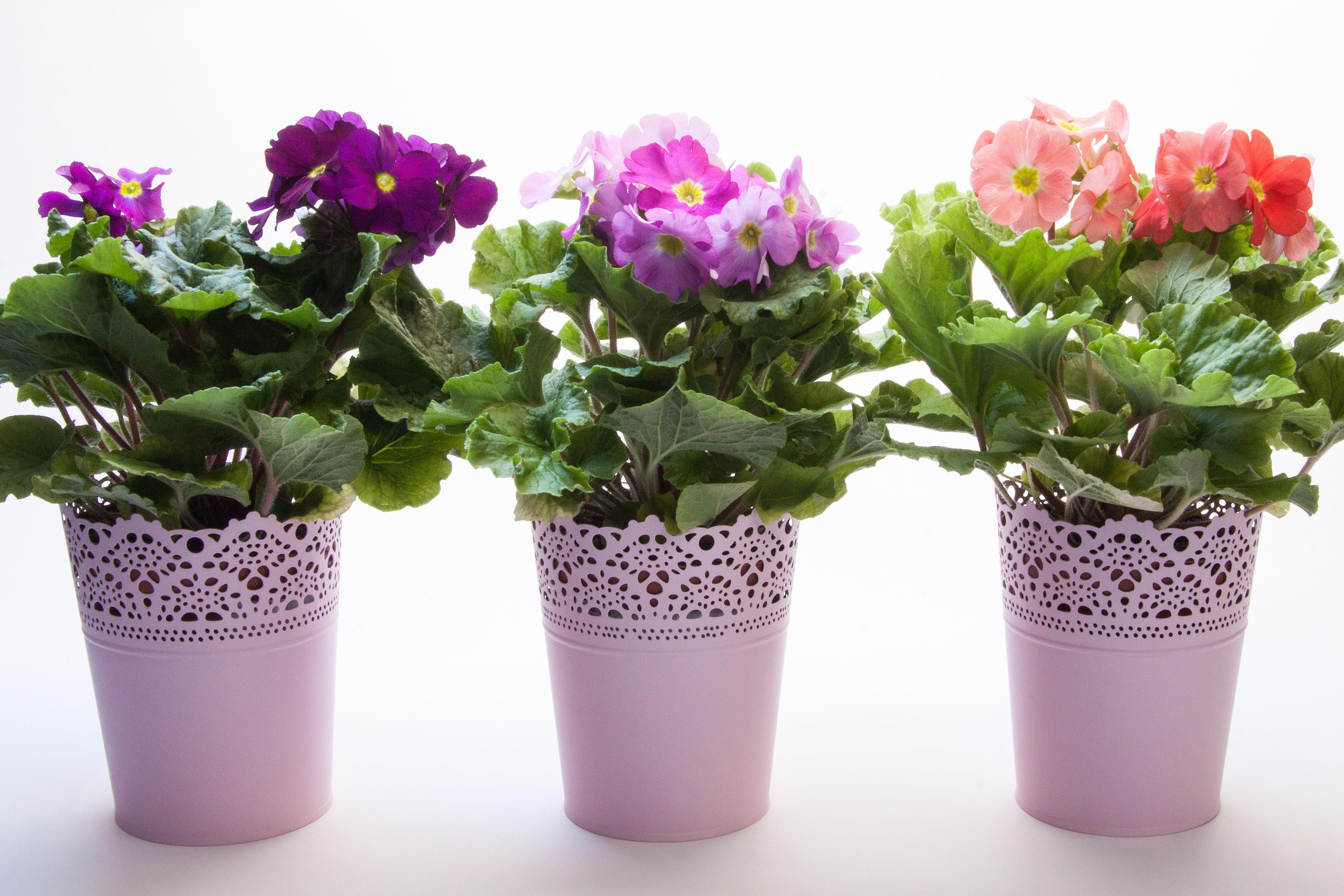 Free Images : spring, shrub, flowerpot, salmon, magenta, cyclamen ...