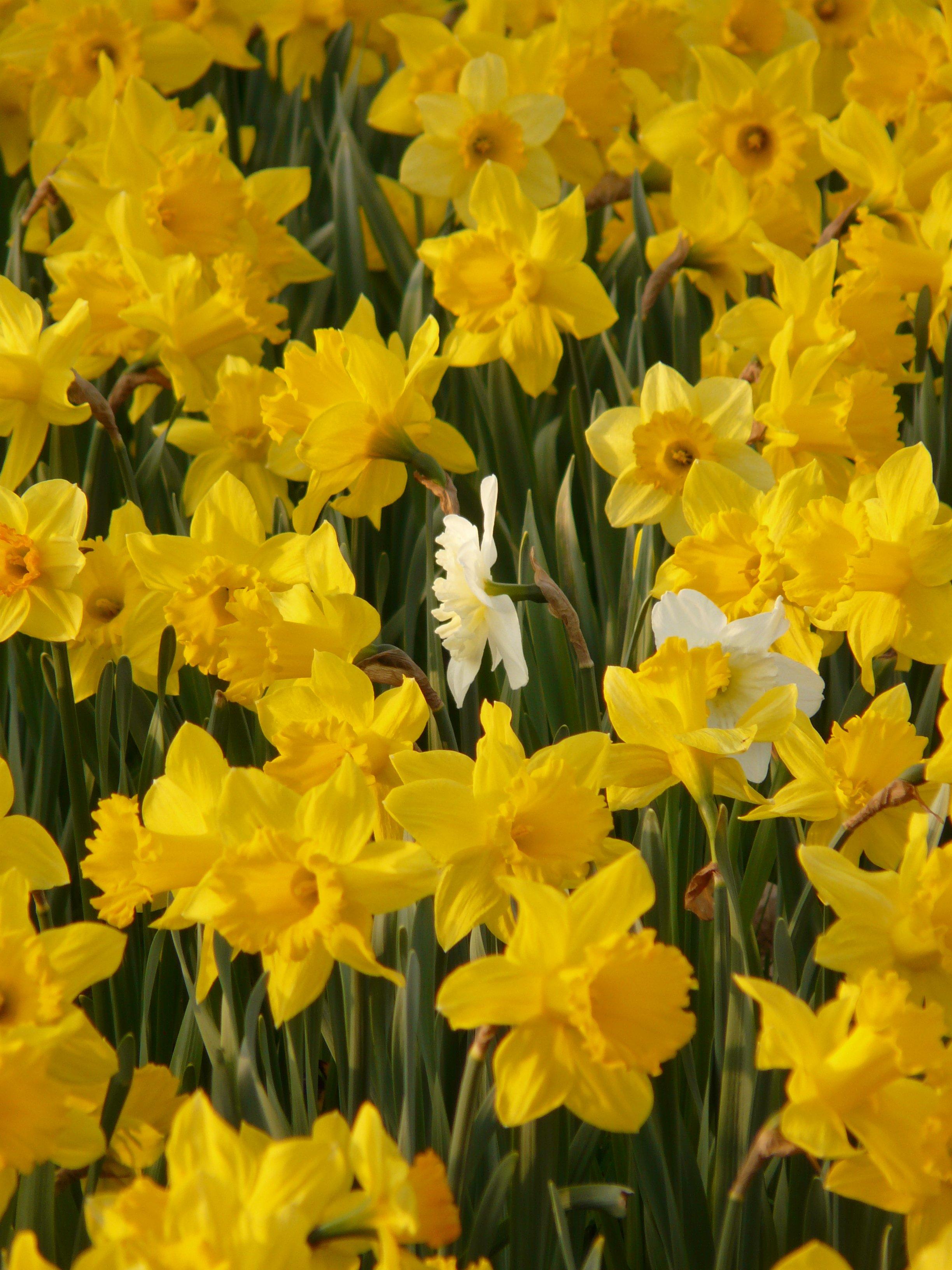 Fotos Gratis Flor Primavera Amarillo Flores Narcisos Narciso - Narcisos-amarillos