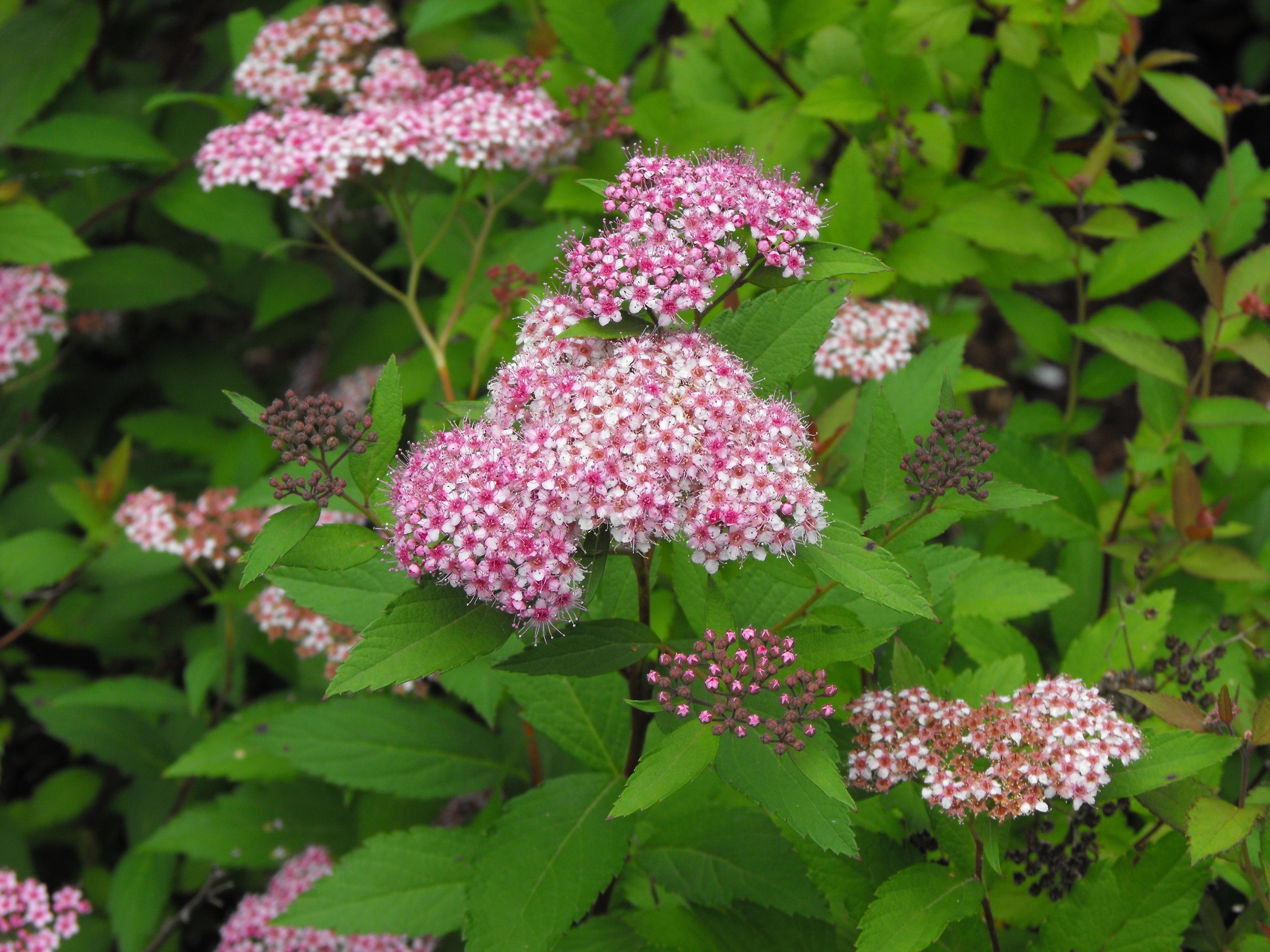 Pianta Fiori Rosa.Immagini Belle Estate Botanica Ortensia Fiori Arbusto