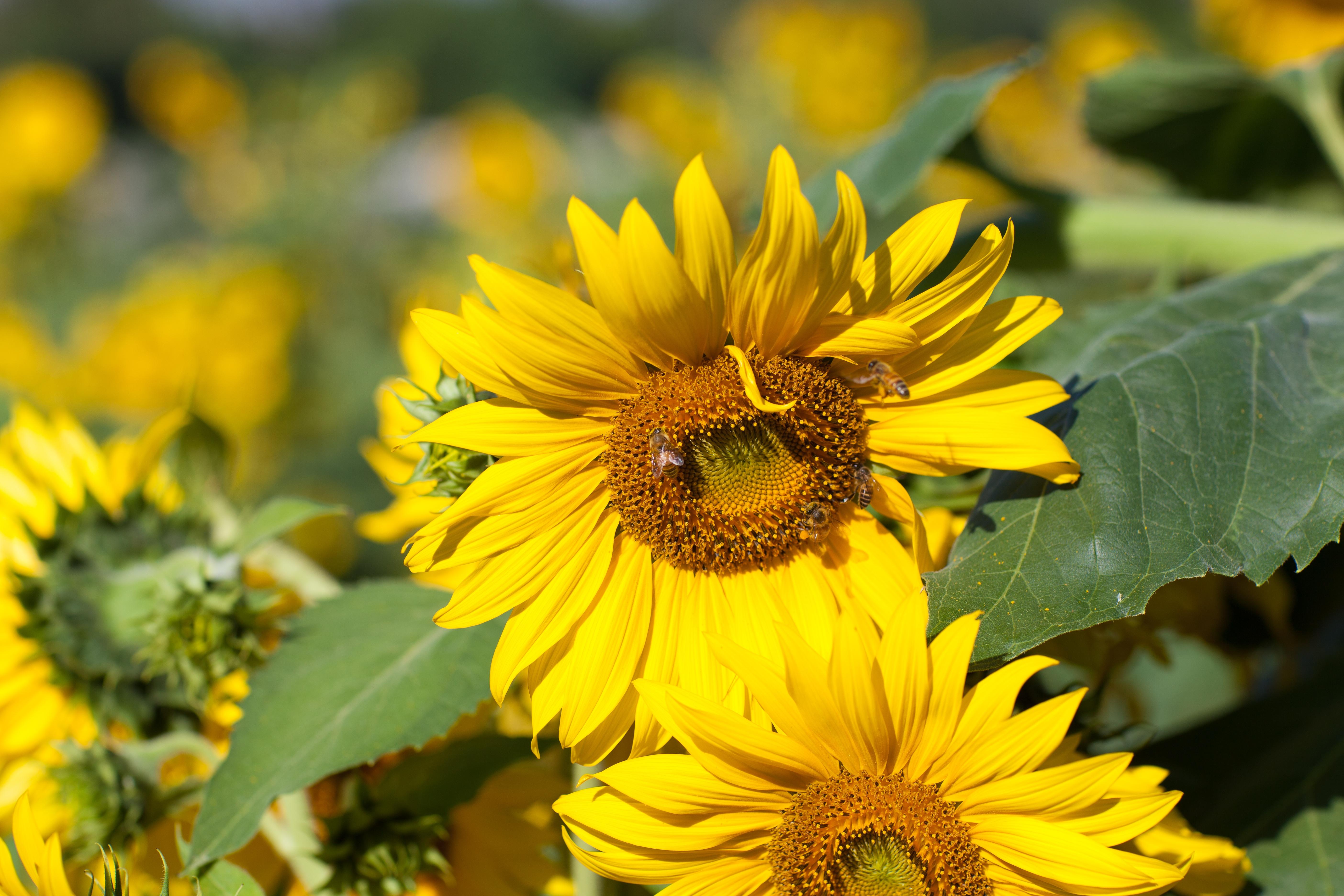 images gratuites fleur t pollen printemps jaune flore fleur sauvage abeille insectes. Black Bedroom Furniture Sets. Home Design Ideas