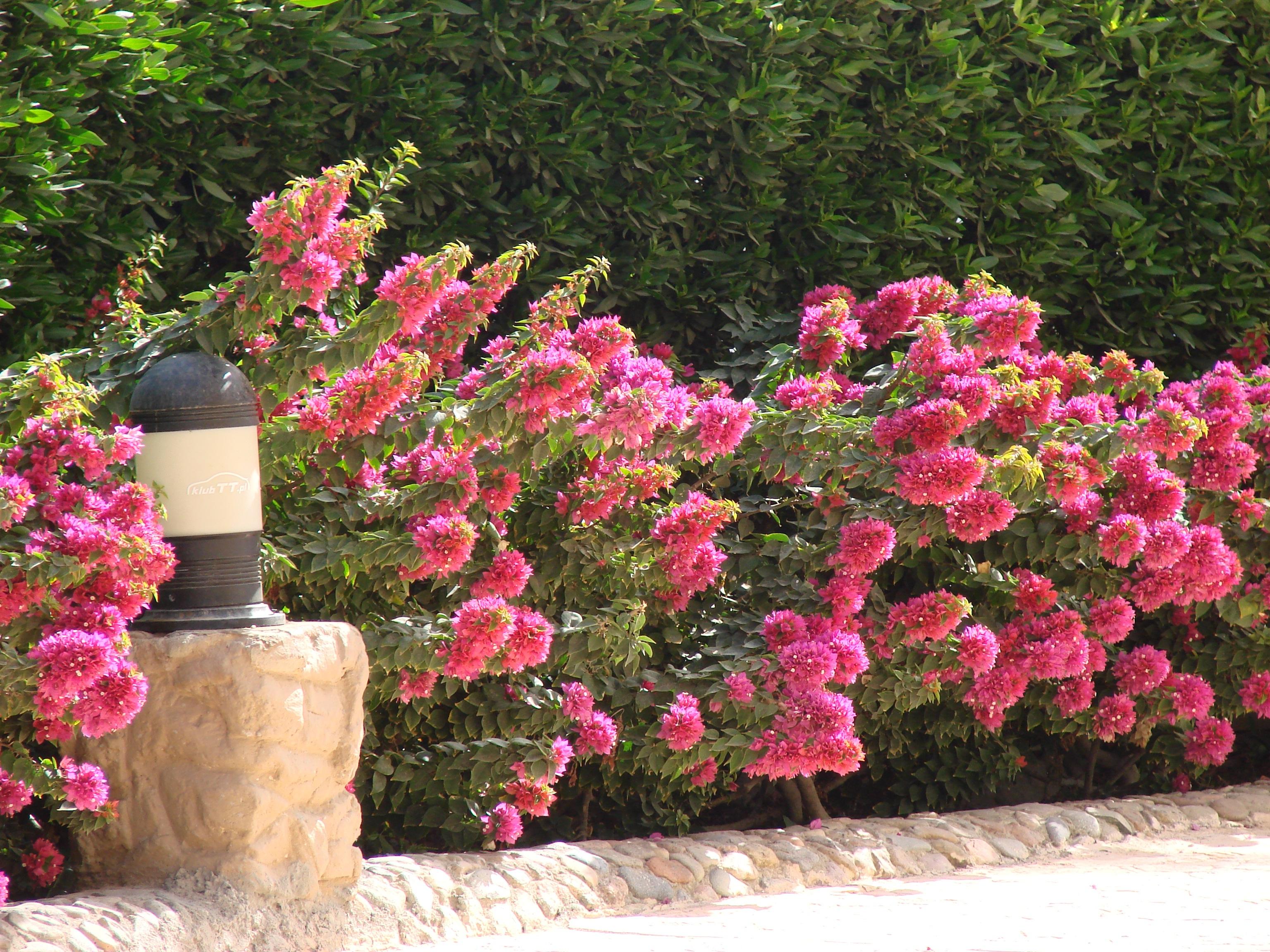 Kostenlose Foto Sommer Rose Botanik Garten Flora Blumen