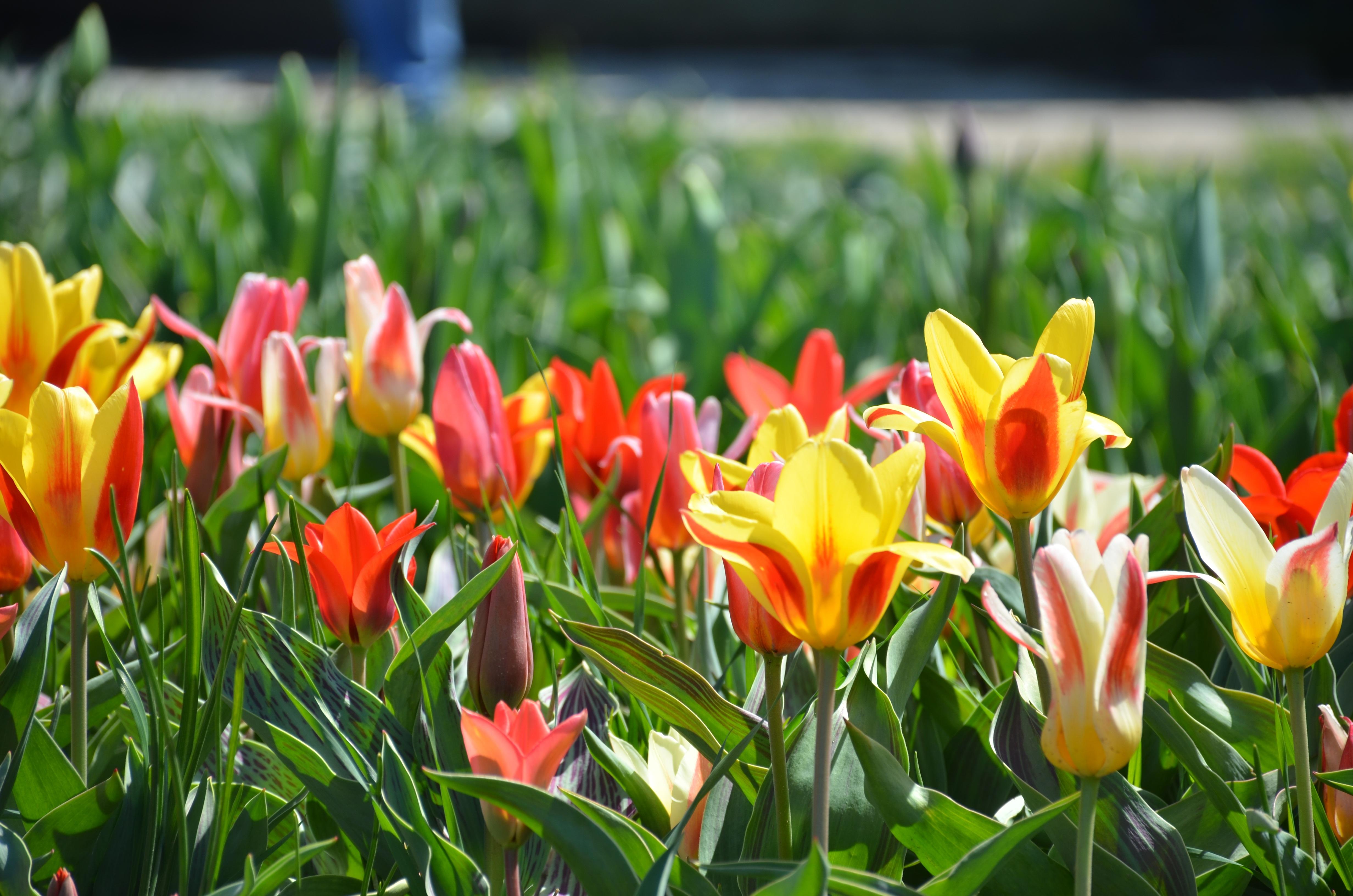 Gratis billeder : blomst, tulipan, botanik, farverig, gul, have ...