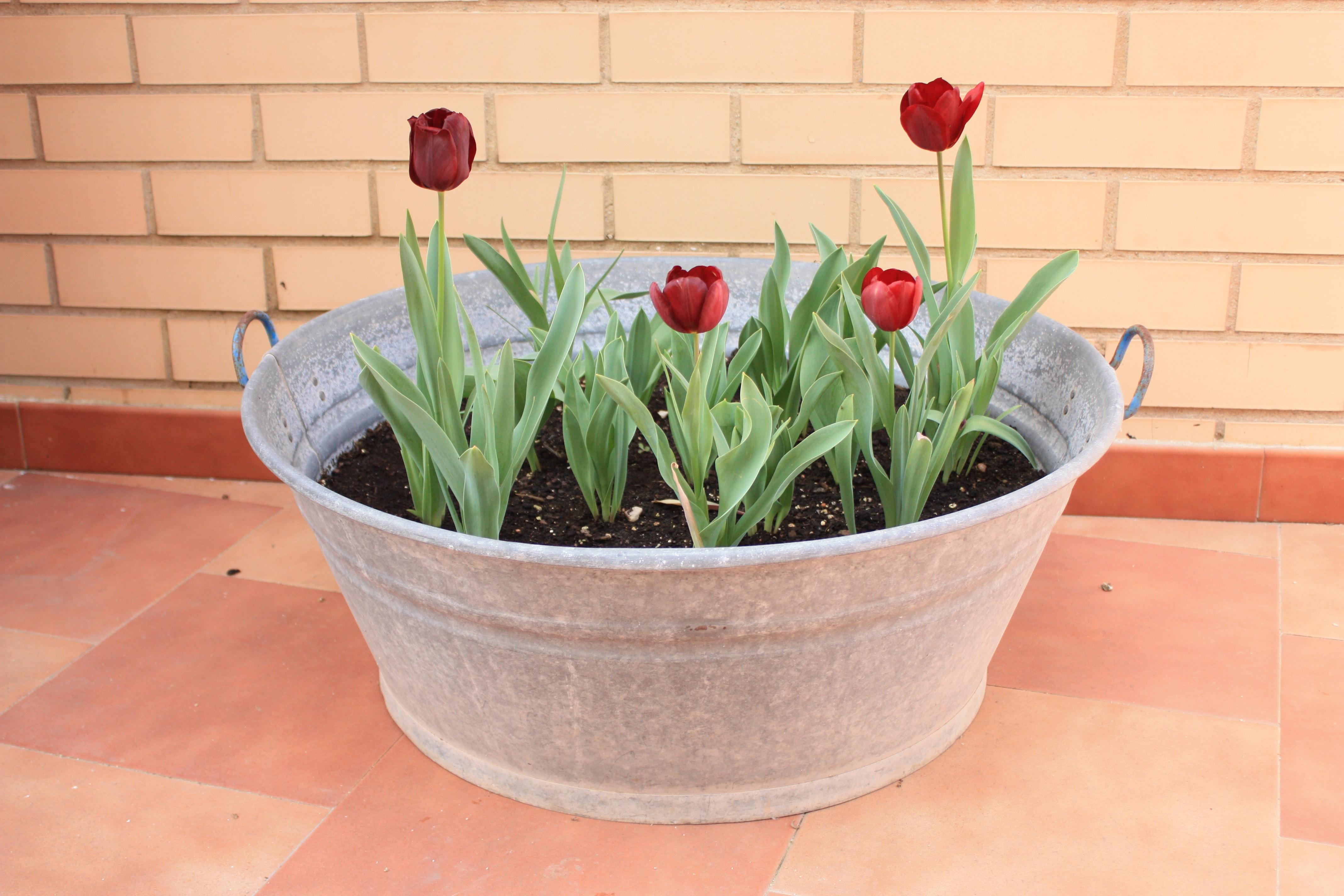 Fotos gratis flor tulip n flores maceta tulipanes for Fotos de plantas en macetas