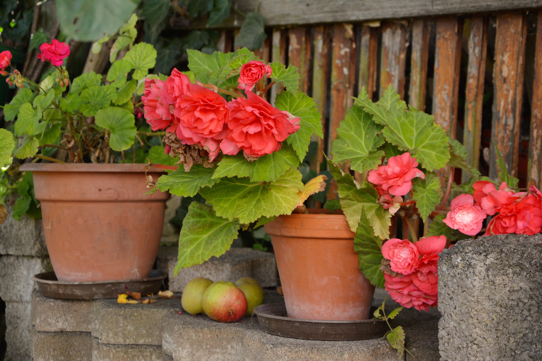 free images wall shrub flowerpot yard begonias floristry begonia summer flowers. Black Bedroom Furniture Sets. Home Design Ideas