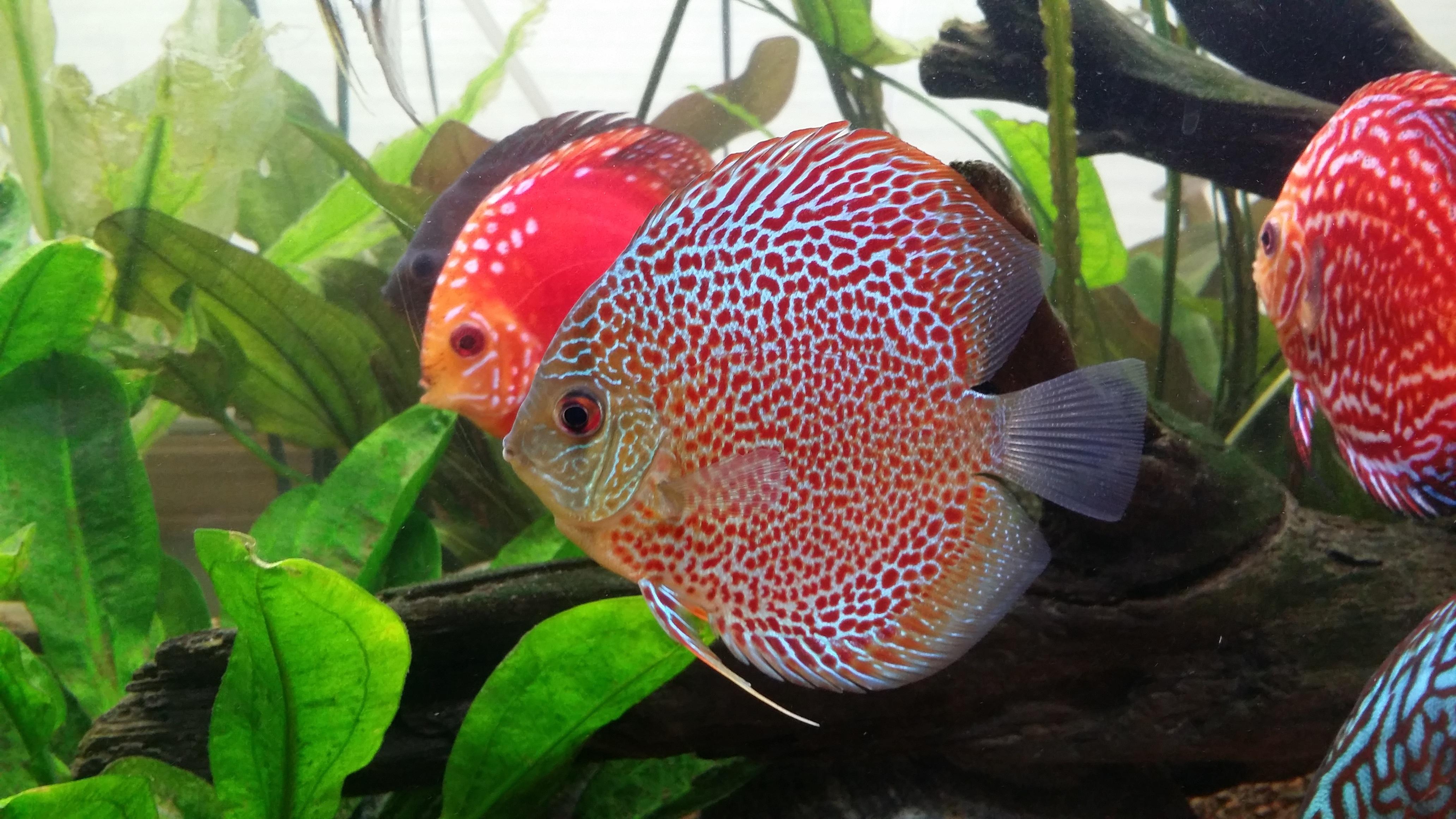 Ilmaisia kuvia kasvi ruoka tuottaa biologia kalastaa for Discus fish food