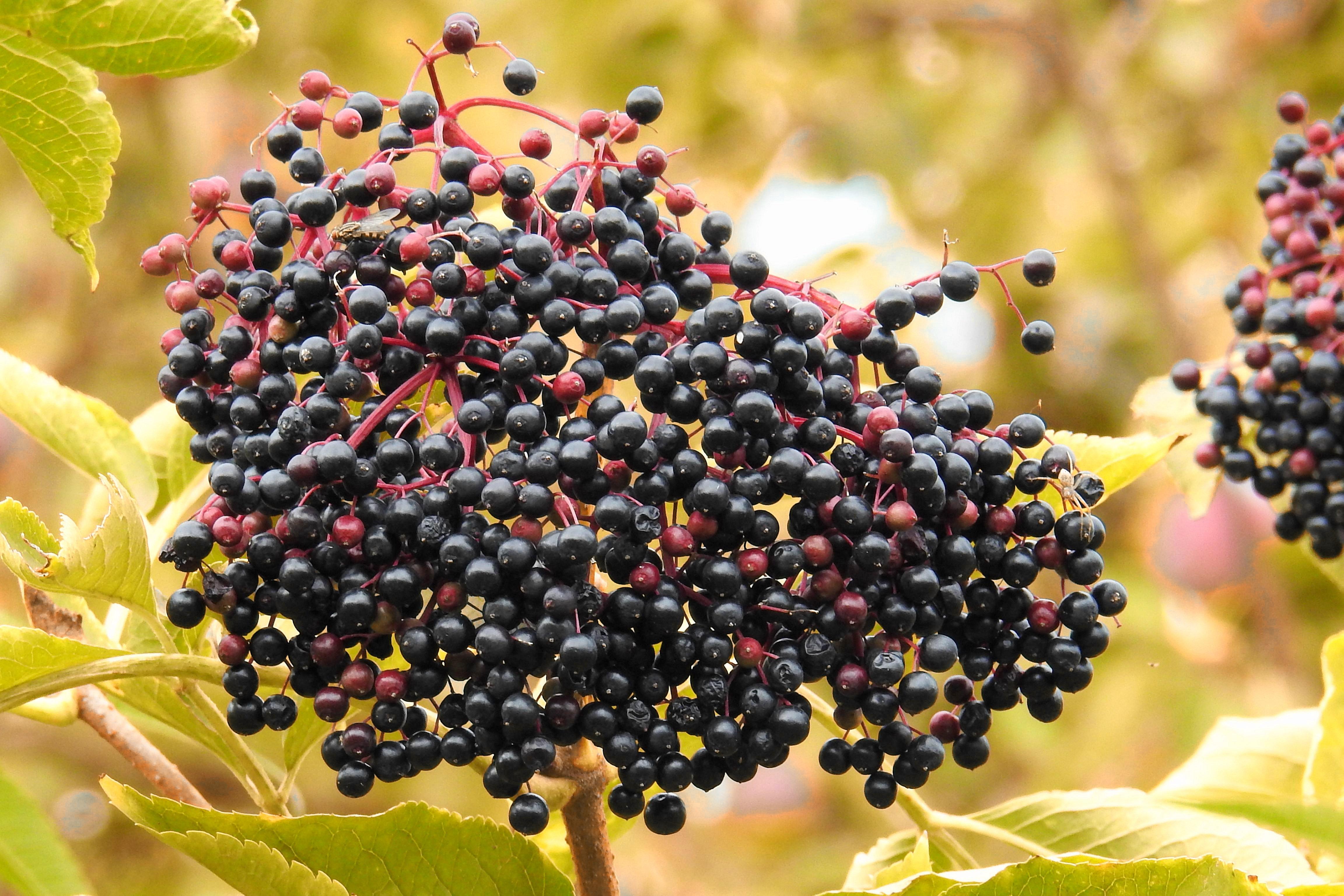 Картинки ягоды бузины черной