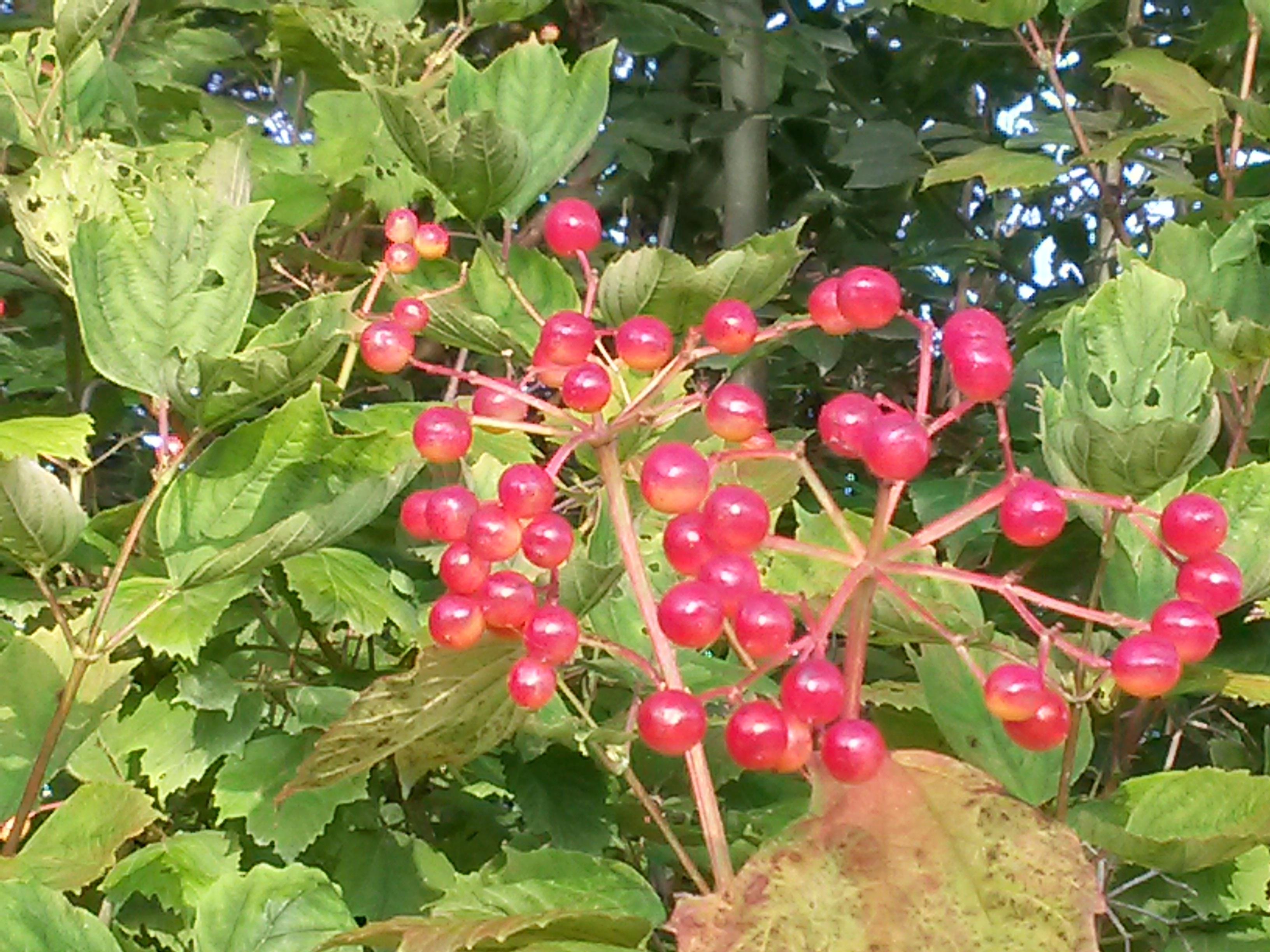 Images Gratuites Fruit Baie Fleur Buisson Aliments Rouge