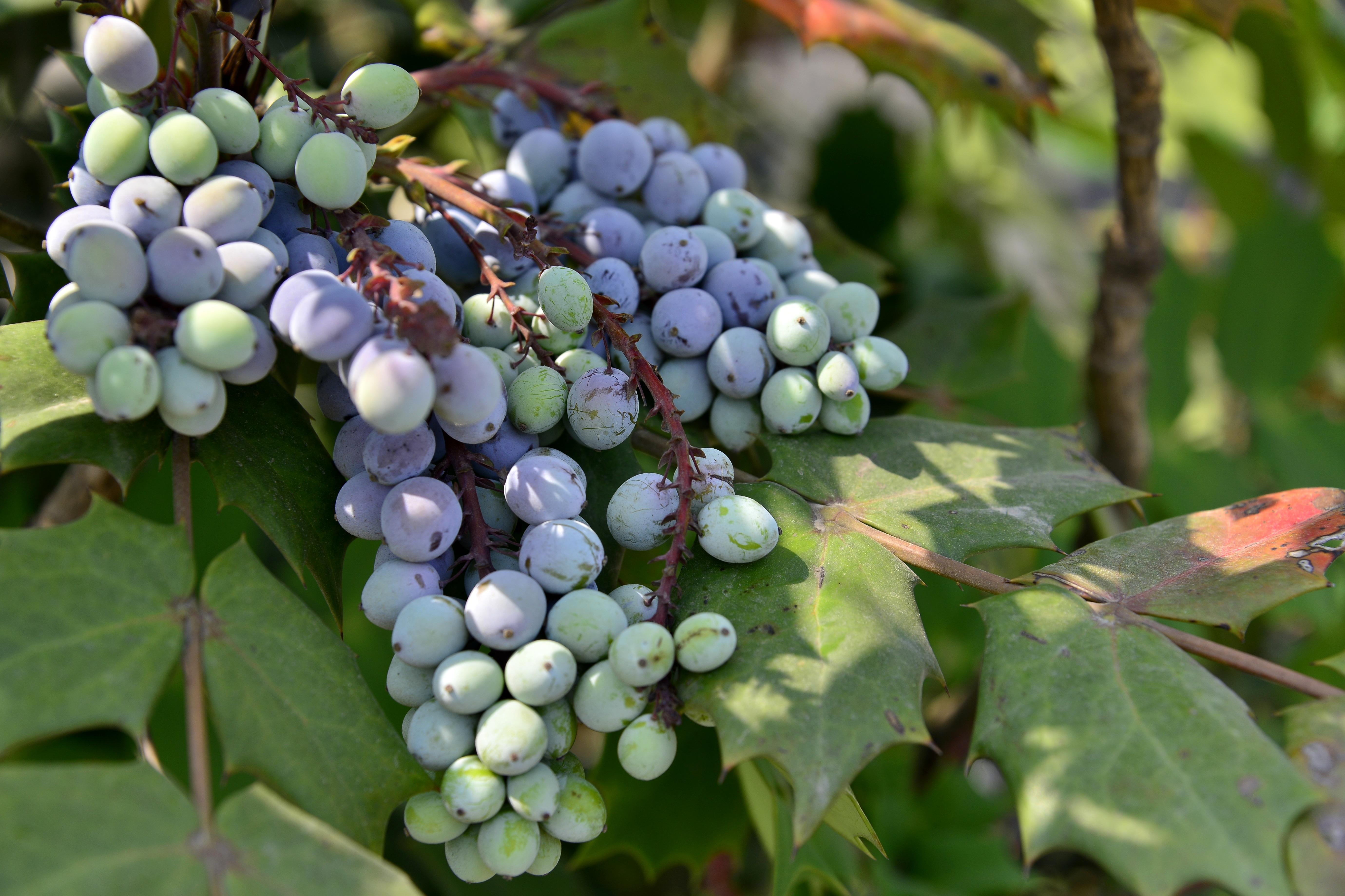 80+ Gambar Tanaman Anggur Laut