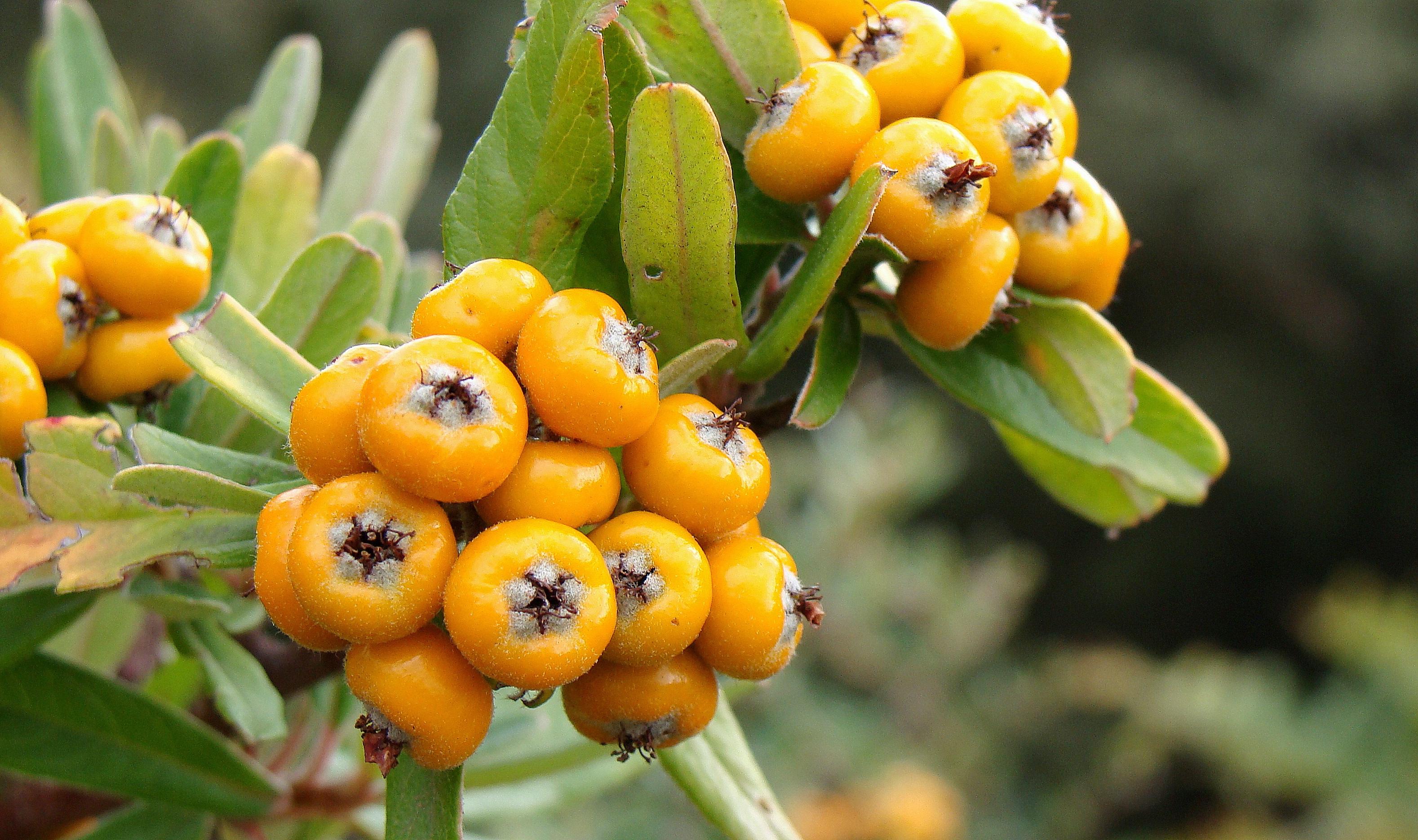 Images Gratuites : fruit, baie, fleur, sauvage, aliments, produire, à feuilles persistantes ...