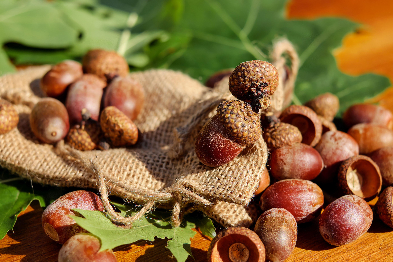 hình ảnh : thực vật, trái cây, Trang trí, món ăn, Sản xuất, Mùa thu, nâu,  nắng, Trái cây, sáng bóng, Acorns, Lá sồi, Sồi đỏ, thực vật có hoa,  American spitz ...