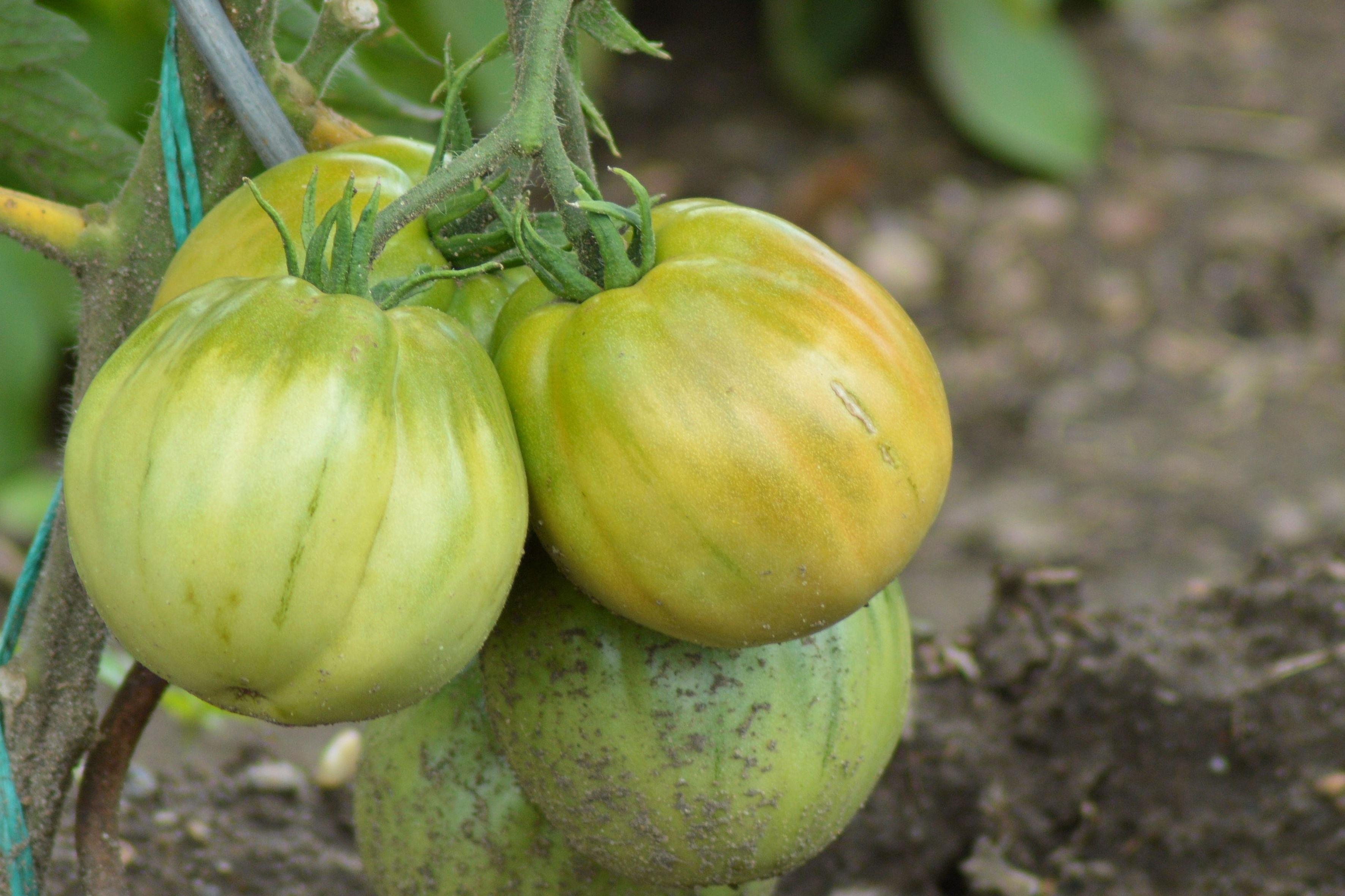 recipe: tomatillo in english [35]