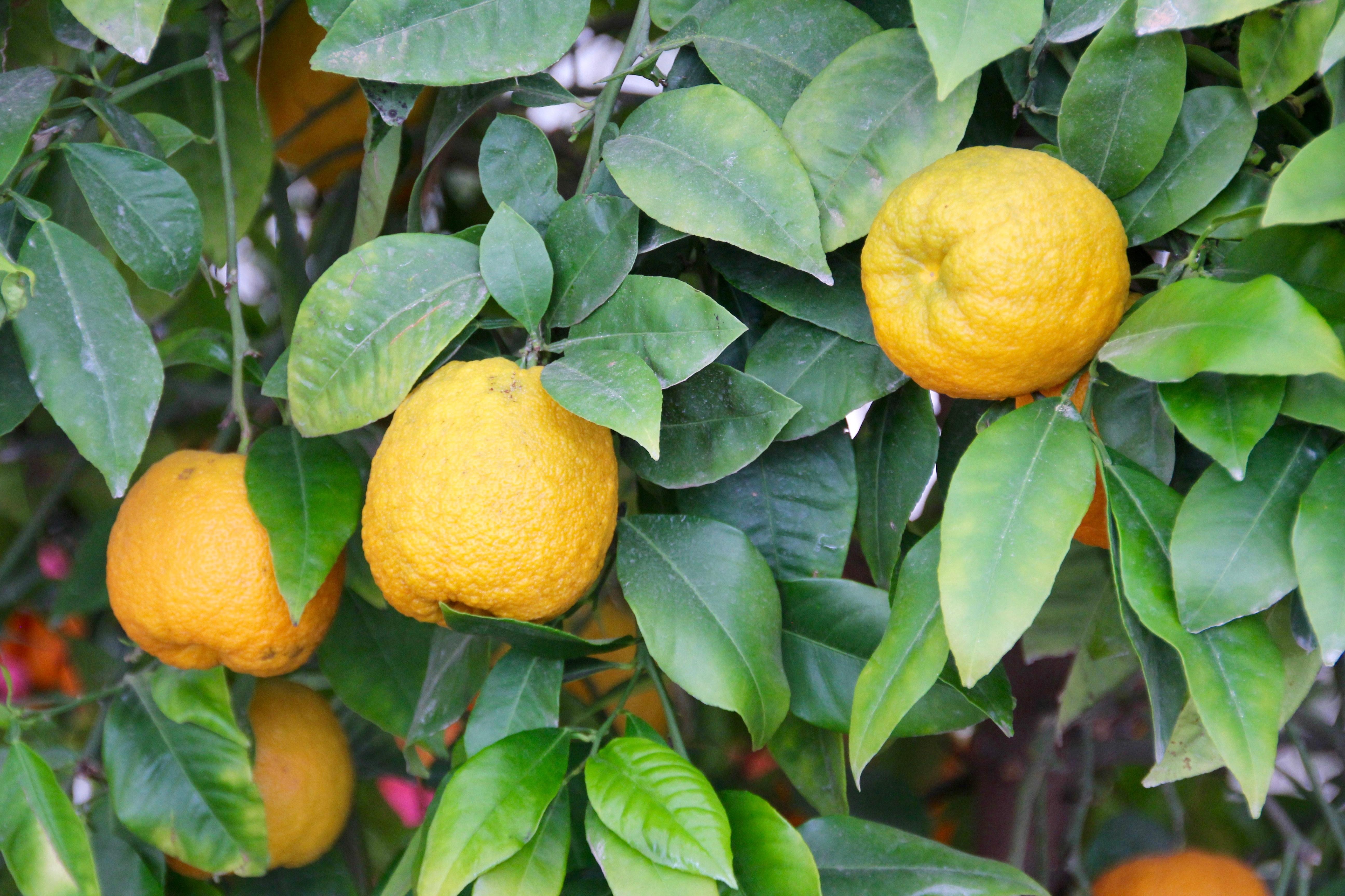 Fotos gratis fruta flor comida produce hojas for Plantas de hojas perennes para jardin