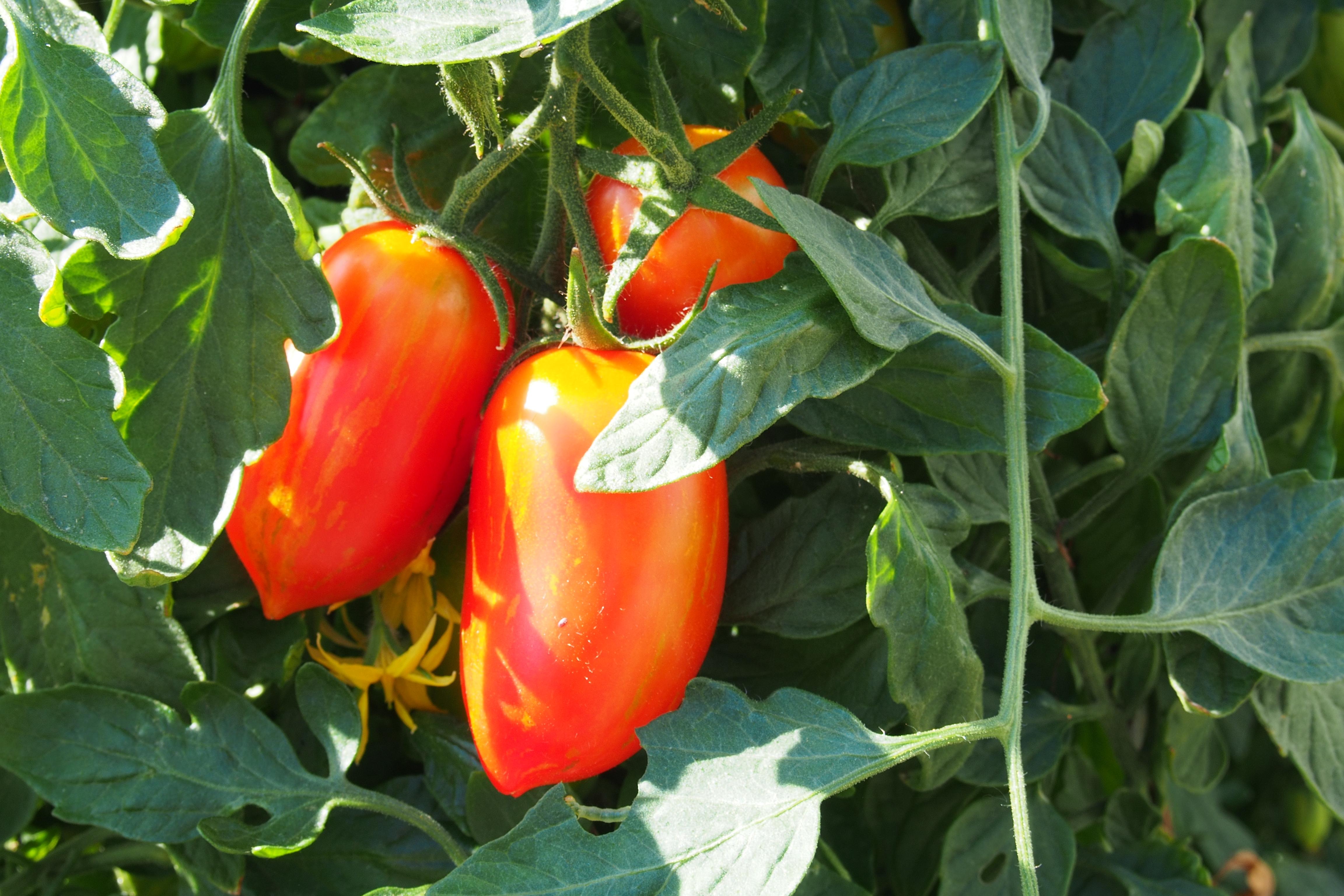 Fotos gratis : Fruta, flor, comida, Produce, vegetal, pimientos, Pimiento morrón, planta