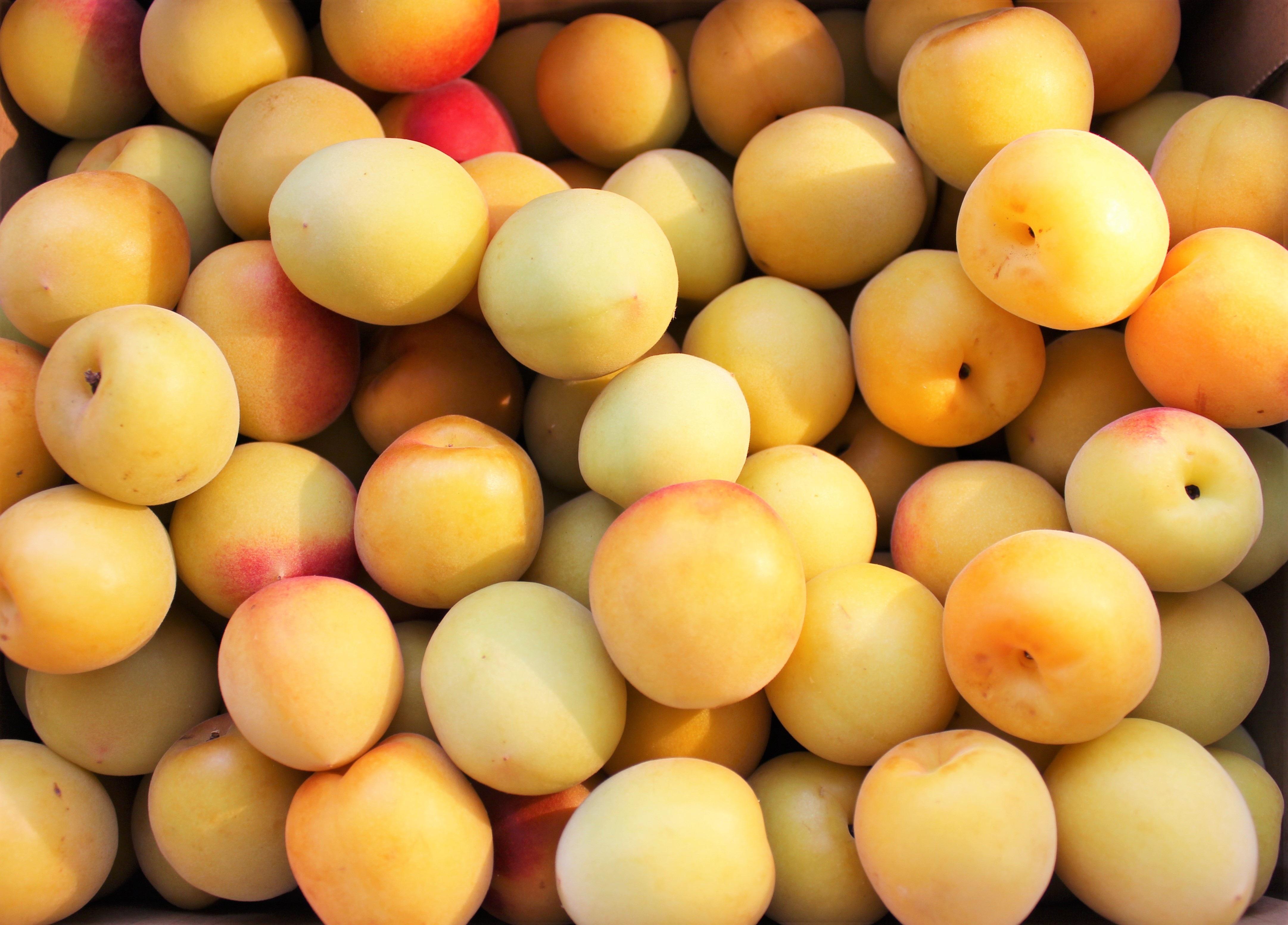 menanam buah bunga makanan menghasilkan kuning prem aprikot acar Juni bahan tanaman berbunga keluarga mawar plum
