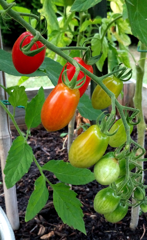 Fotos gratis fruta flor comida ensalada rojo for Plantar pimientos y tomates