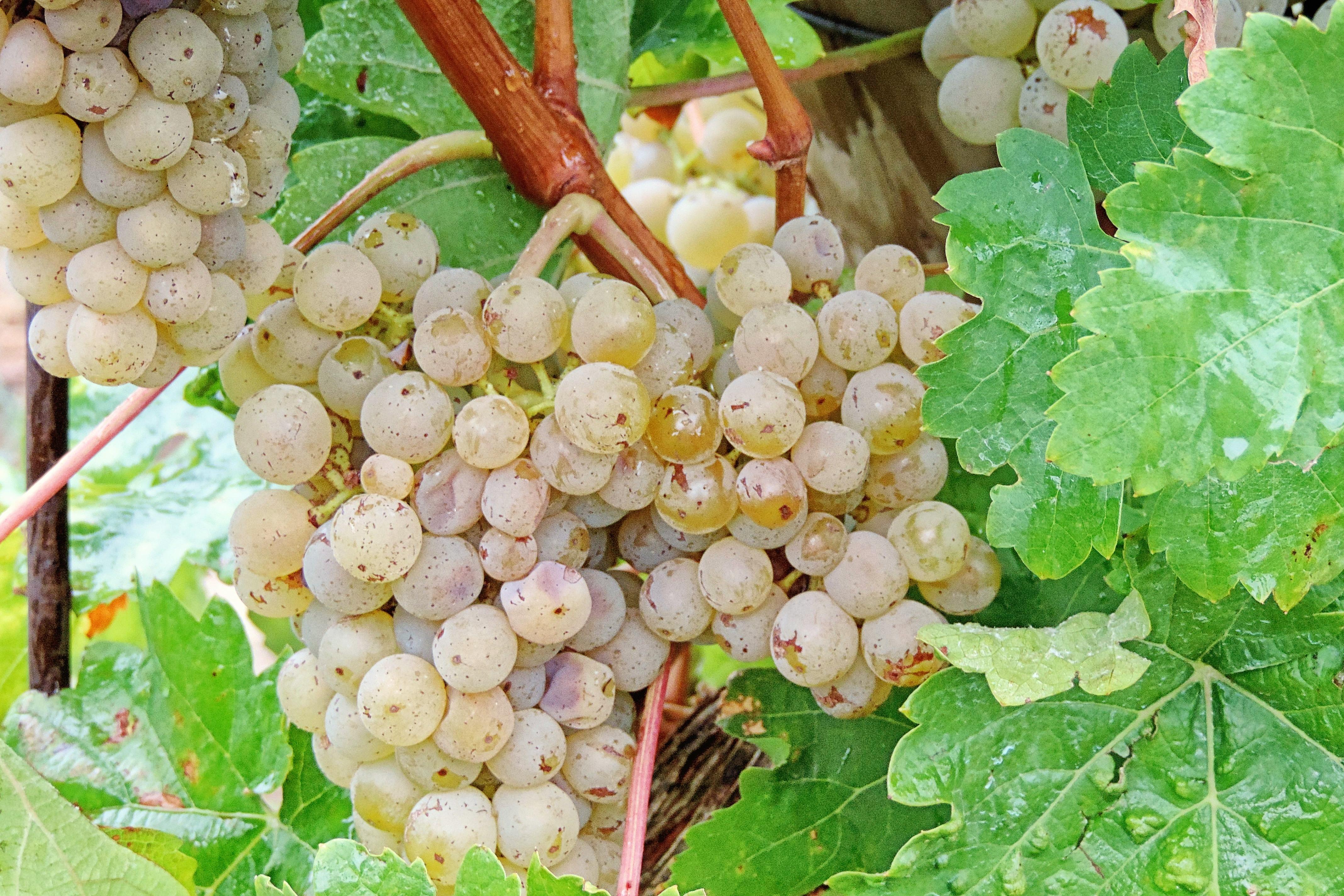 картинки куст винограда точных функций товара