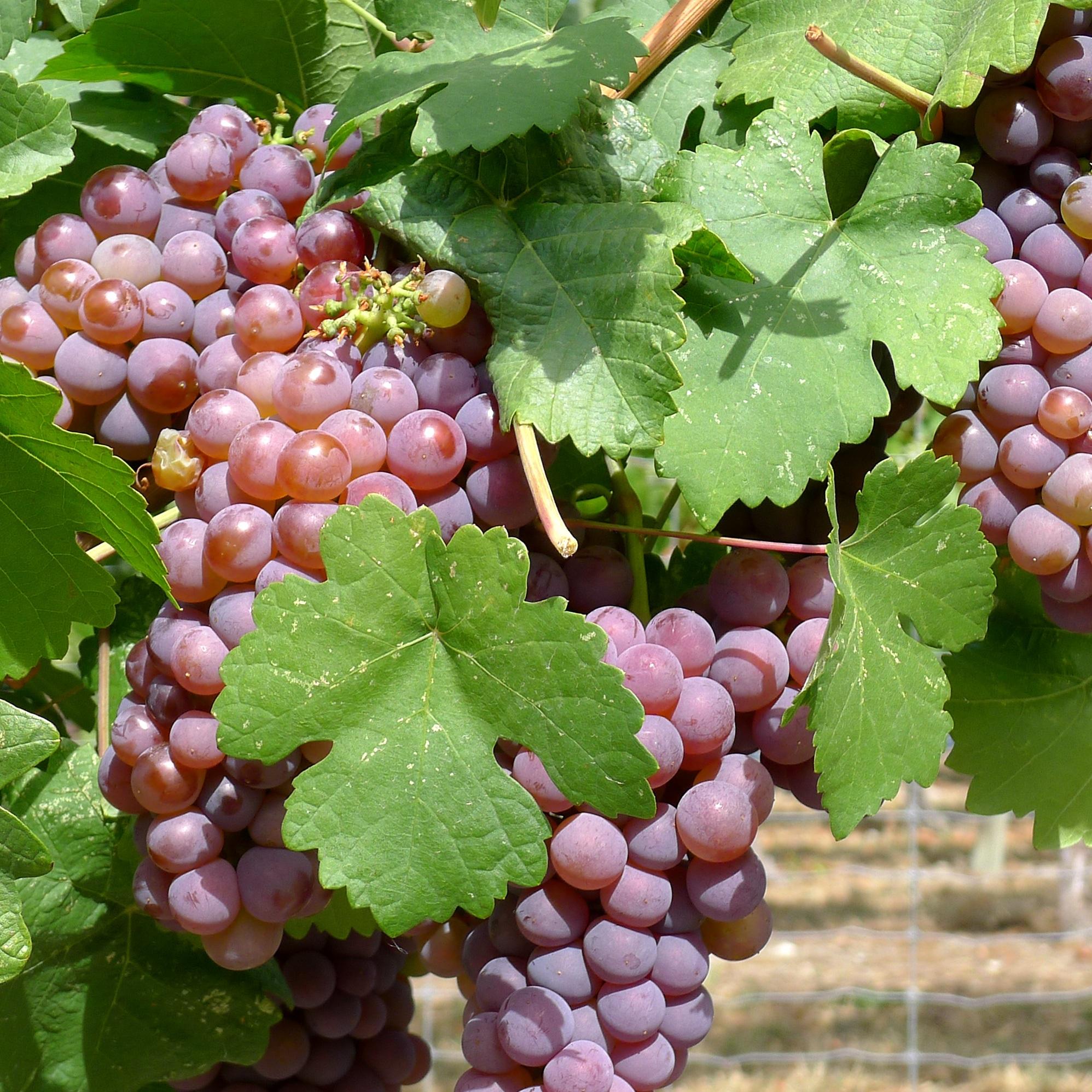 вместе картинки куст винограда сыграют заклятых