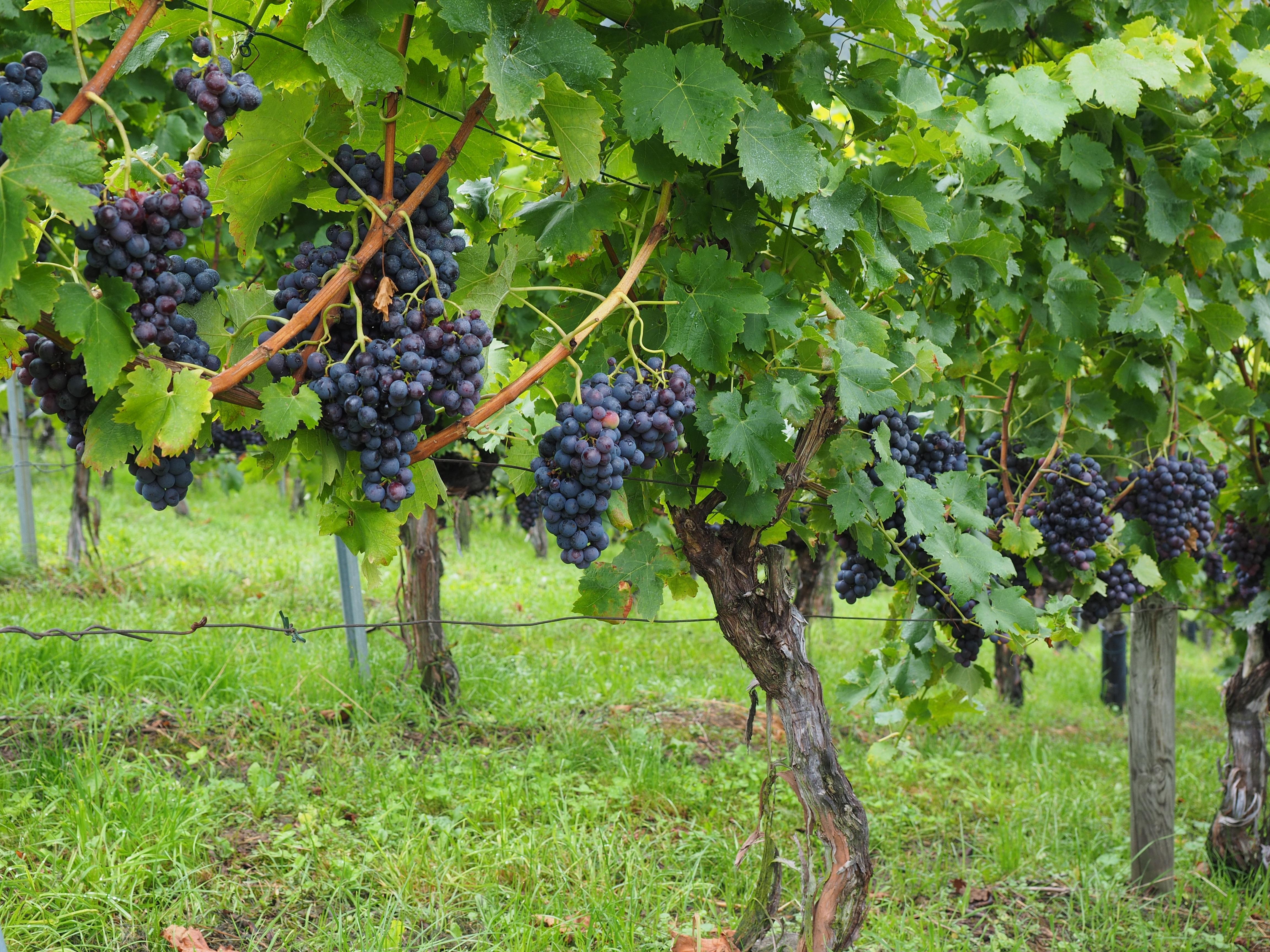 Free Images : grape, vineyard, fruit, food, produce, crop ...