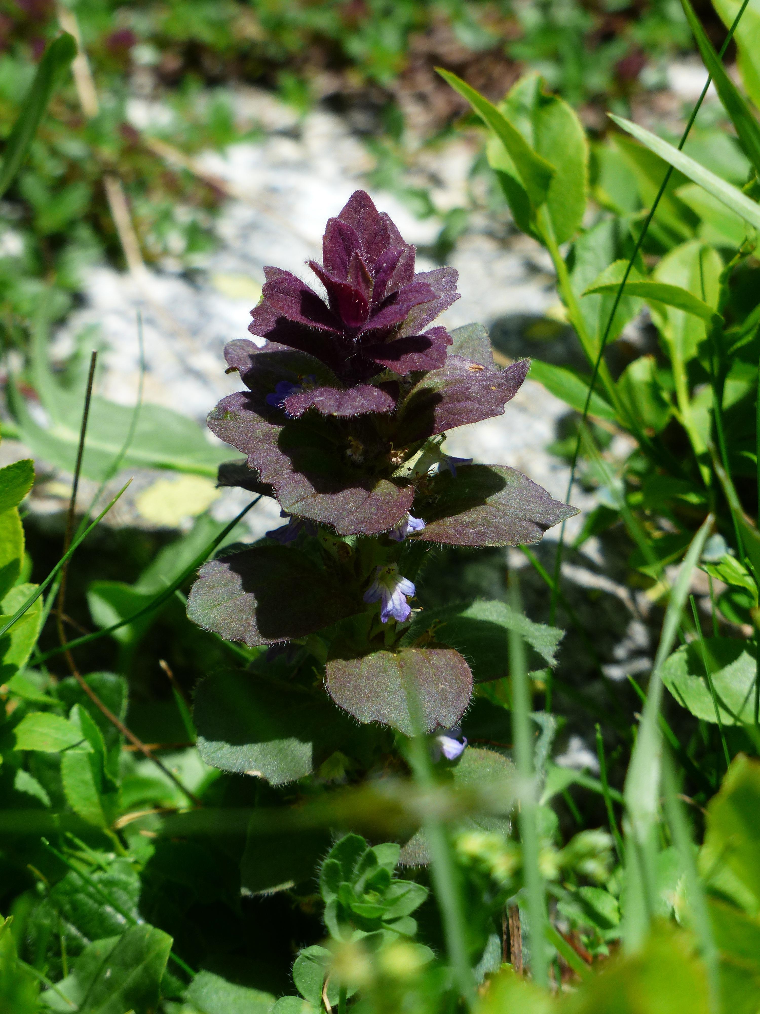 Images gratuites cheveux fleur herbe pyramide for Plante annuelle