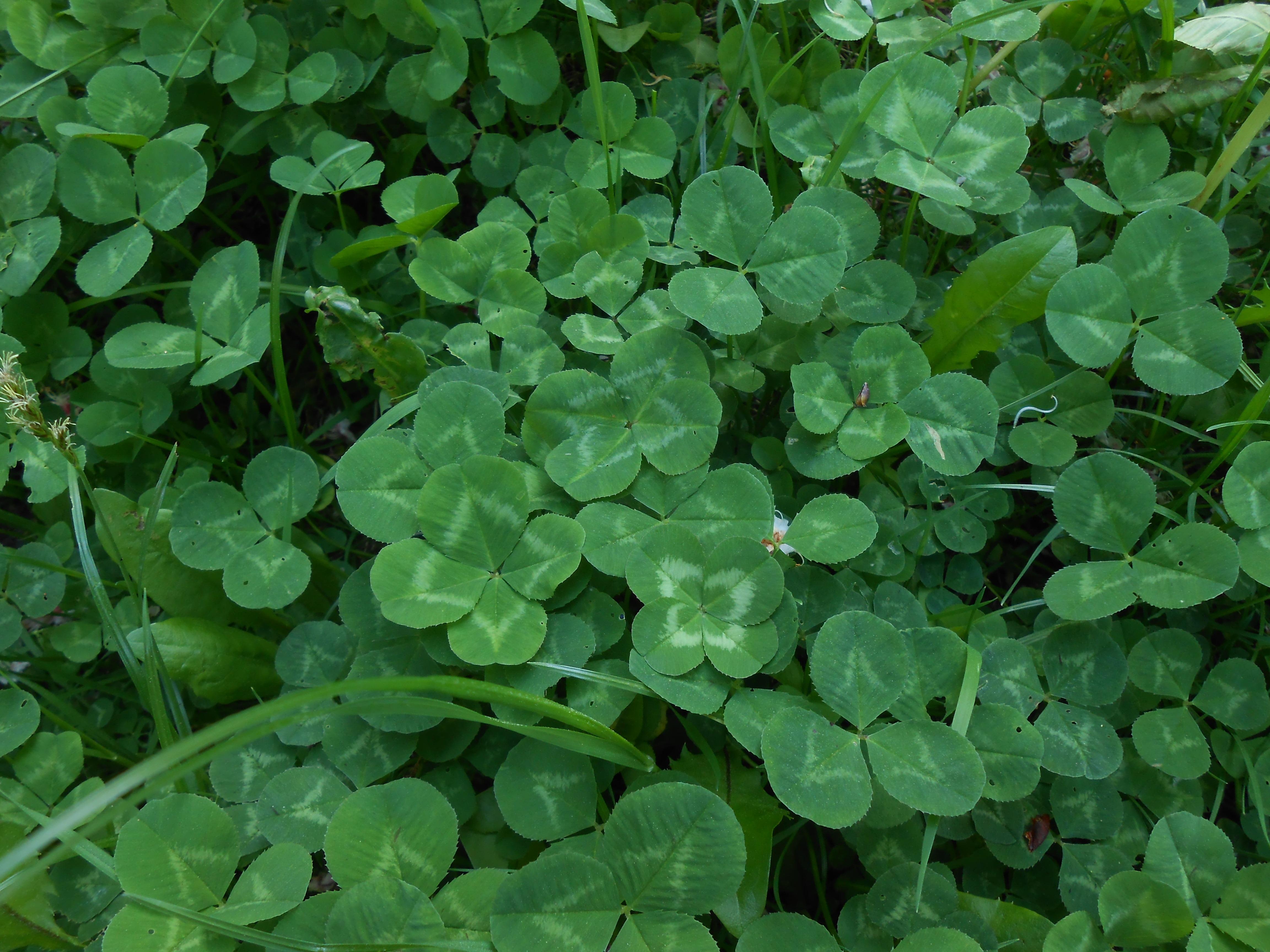 images gratuites pelouse feuille fleur vert herbe couverture de sol la chance klee. Black Bedroom Furniture Sets. Home Design Ideas