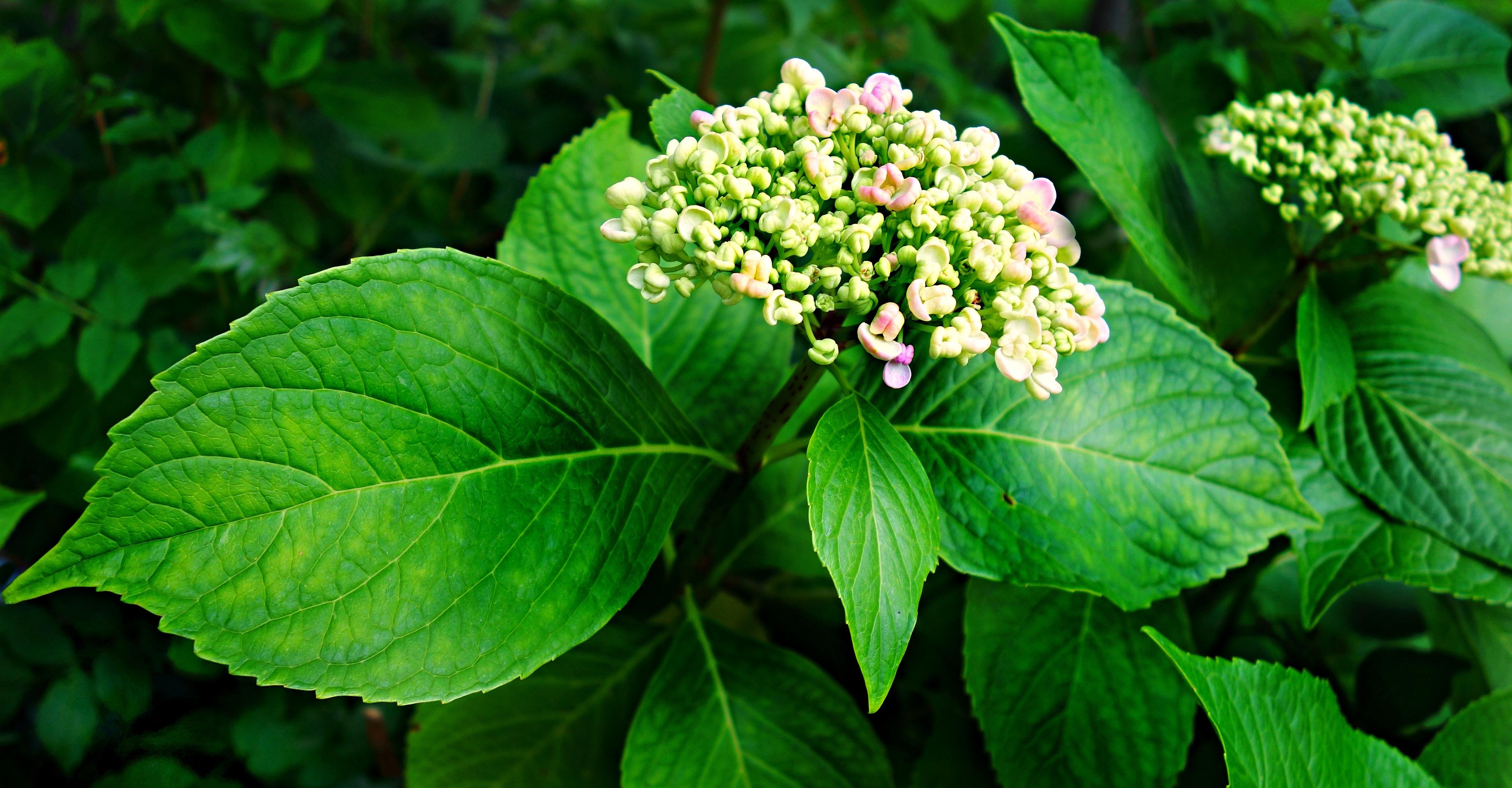 Images gratuites feuille fleur floraison t vert for Plante arbuste