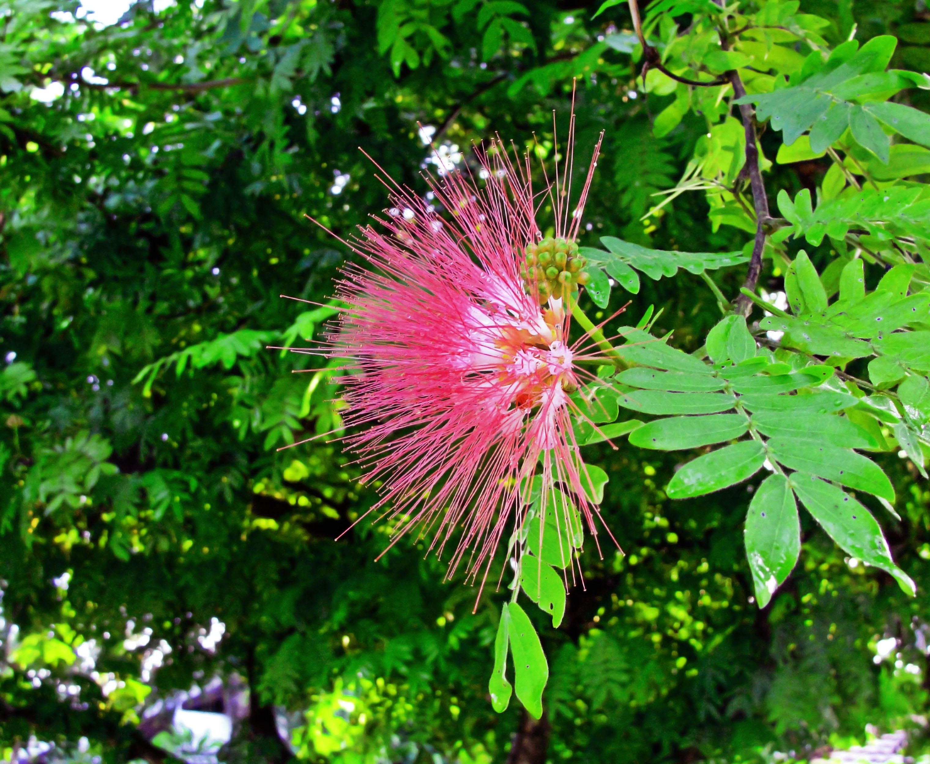 Free Images Leaf Botany Flora Wildflower Shrub Mimosa
