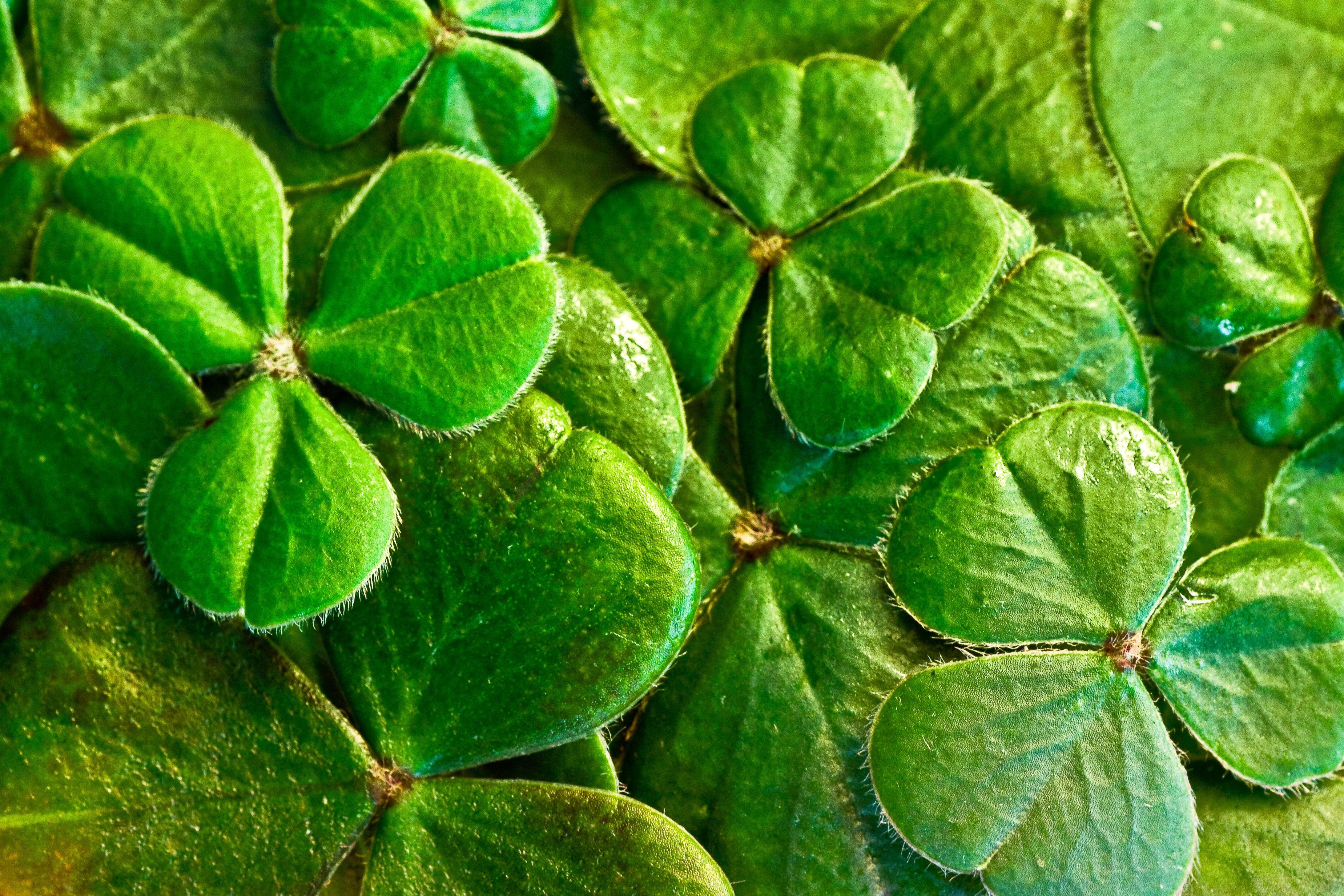 Free Images Leaf Flower Green Herb Symbol Holiday Botany