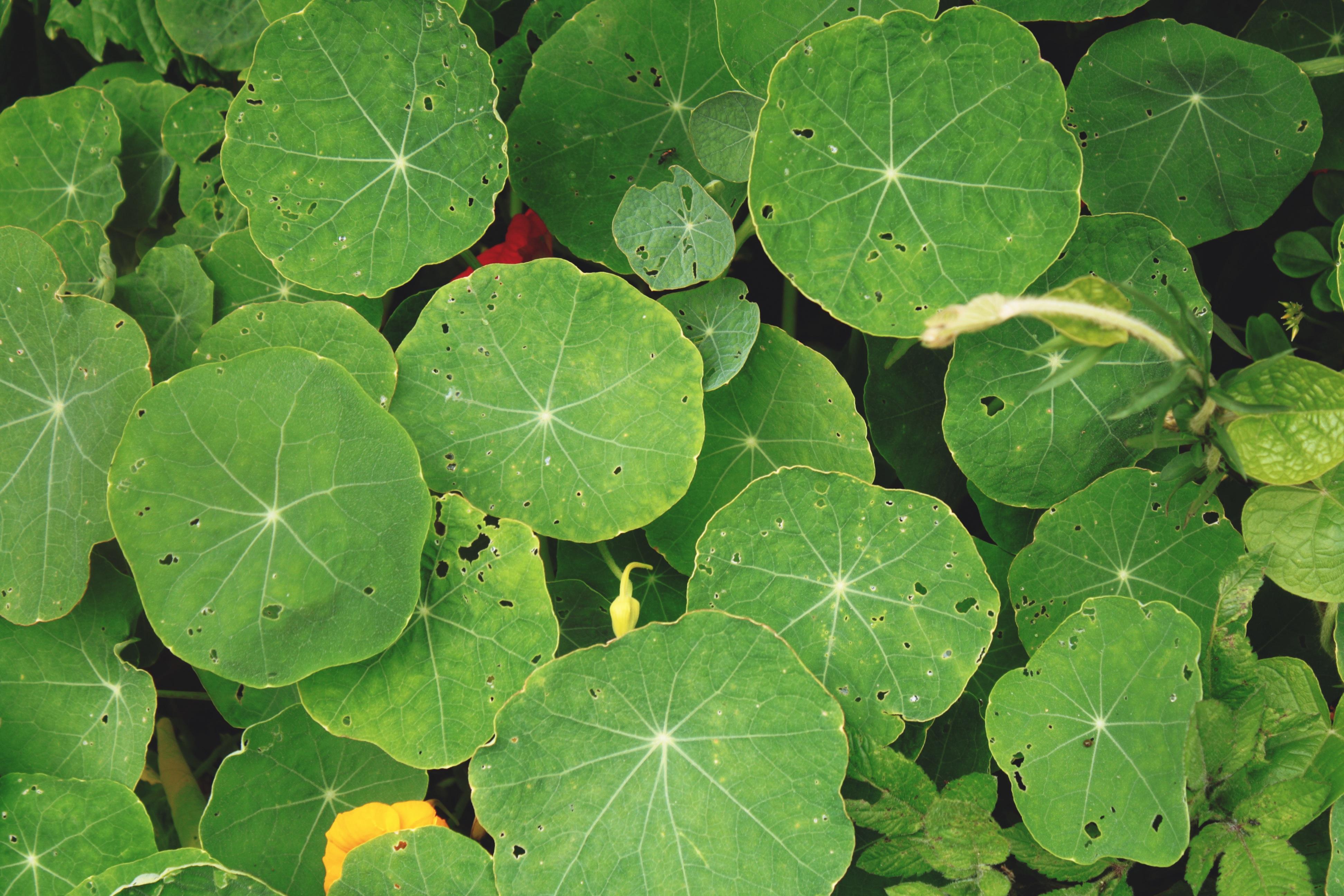 Fotos gratis : hoja, verde, hierba, Produce, botánica ...