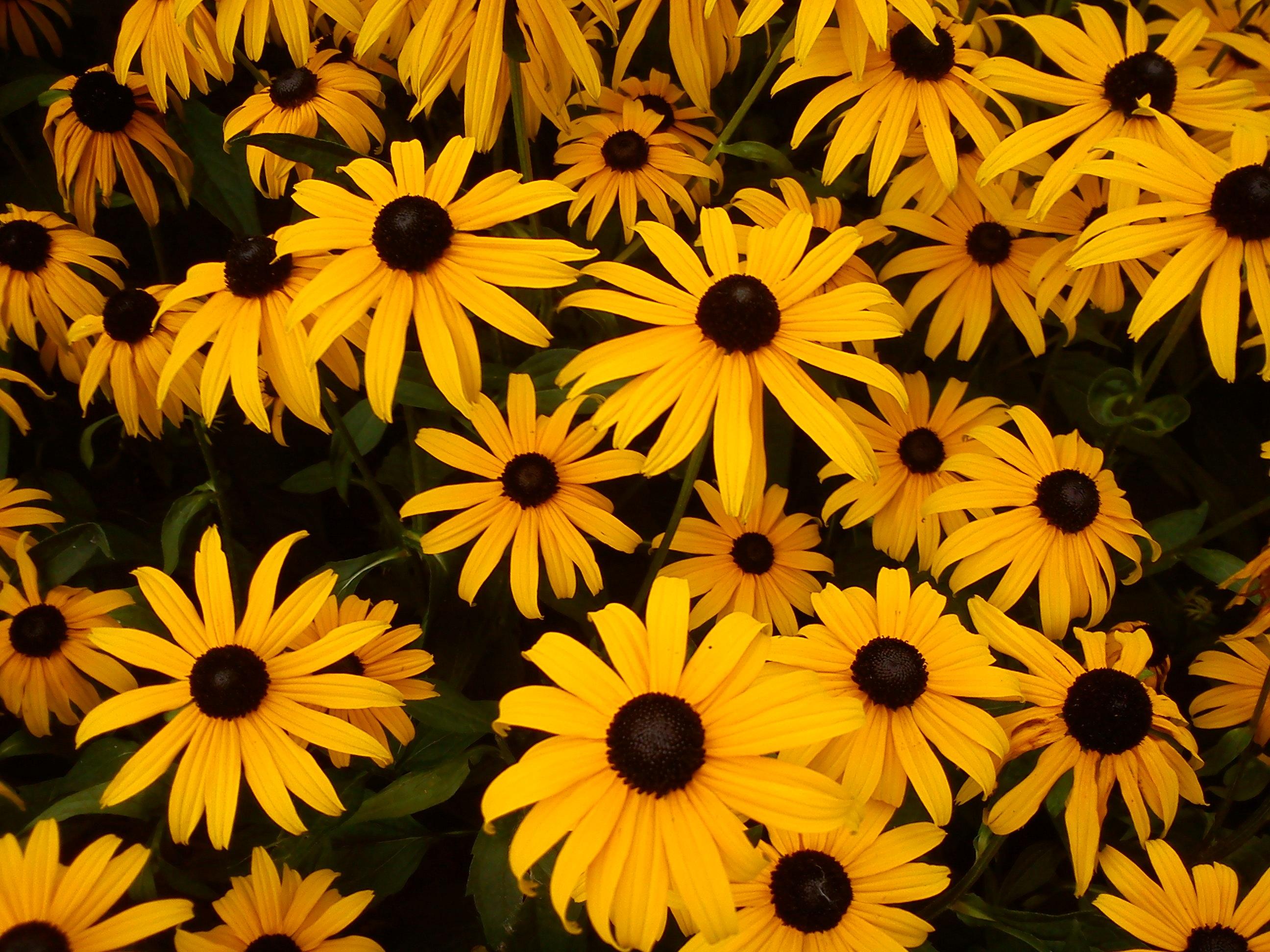 kostenlose foto blatt blume bl tenblatt herbst schwarz gelb flora sonnenblume. Black Bedroom Furniture Sets. Home Design Ideas