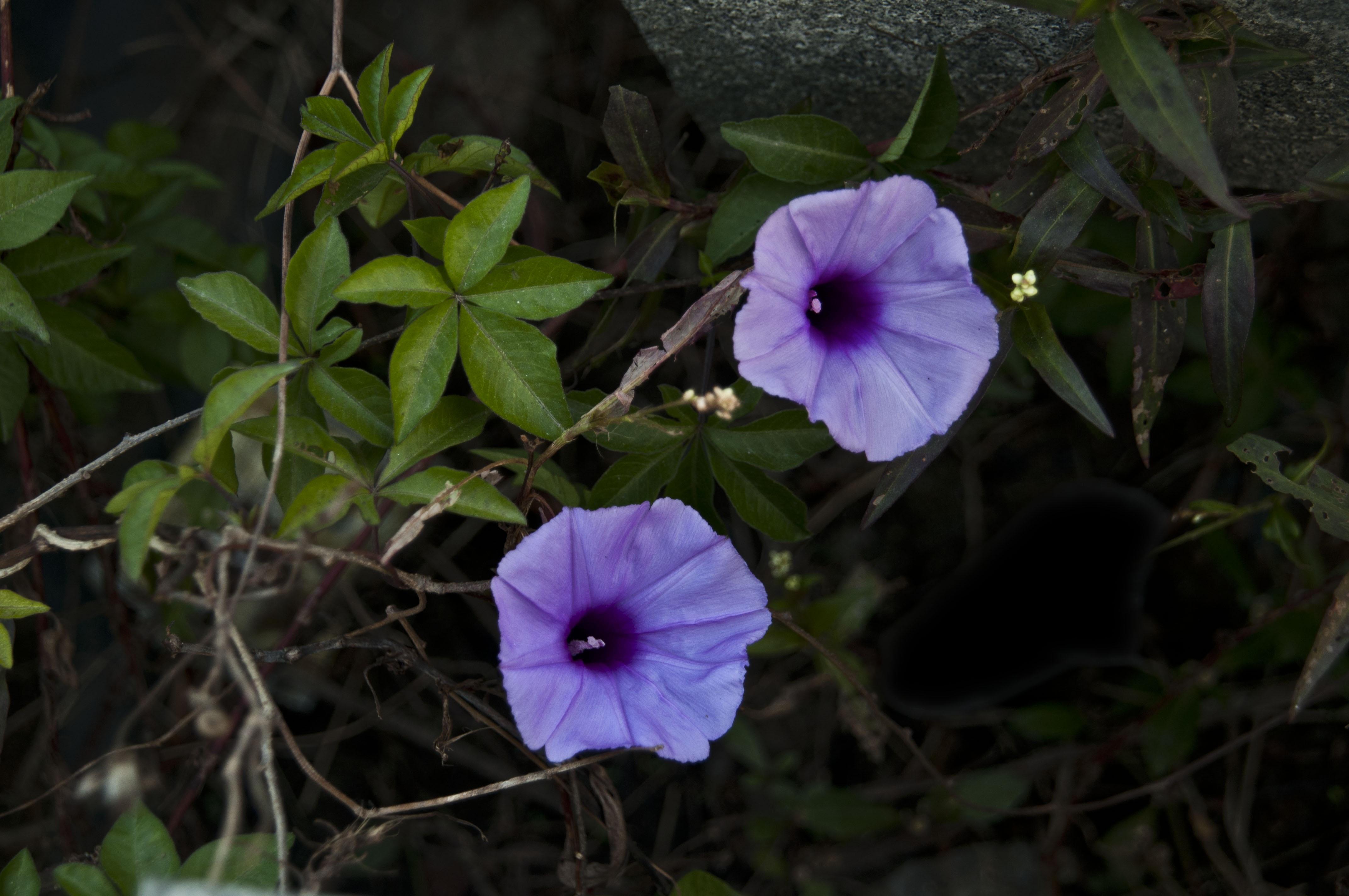 Plant Leaf Flower Petal Autumn Botany Flora Wildflower Morning Glory Flowering Macro Photography Annual