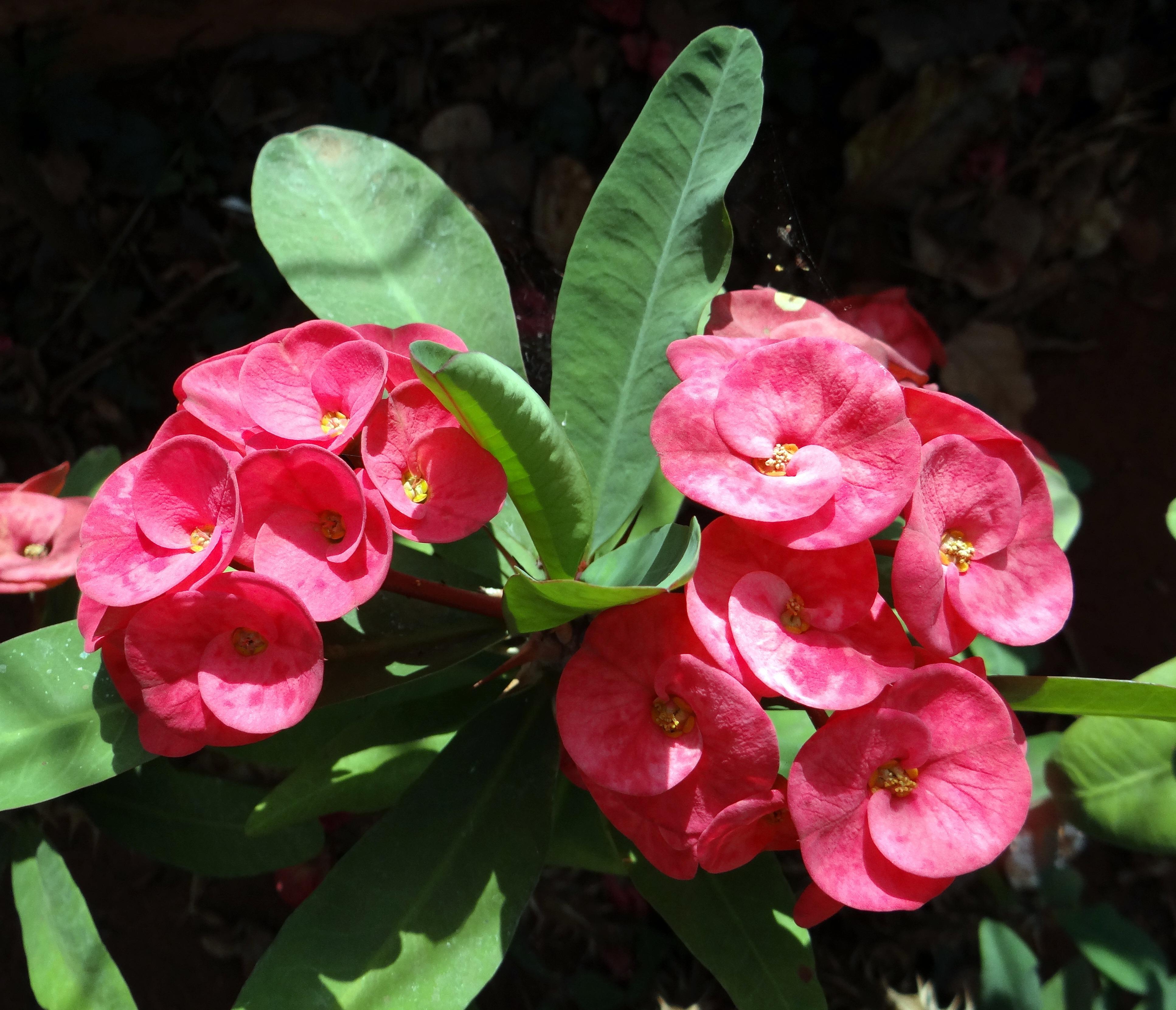 цветок эуфорбия фото вещь