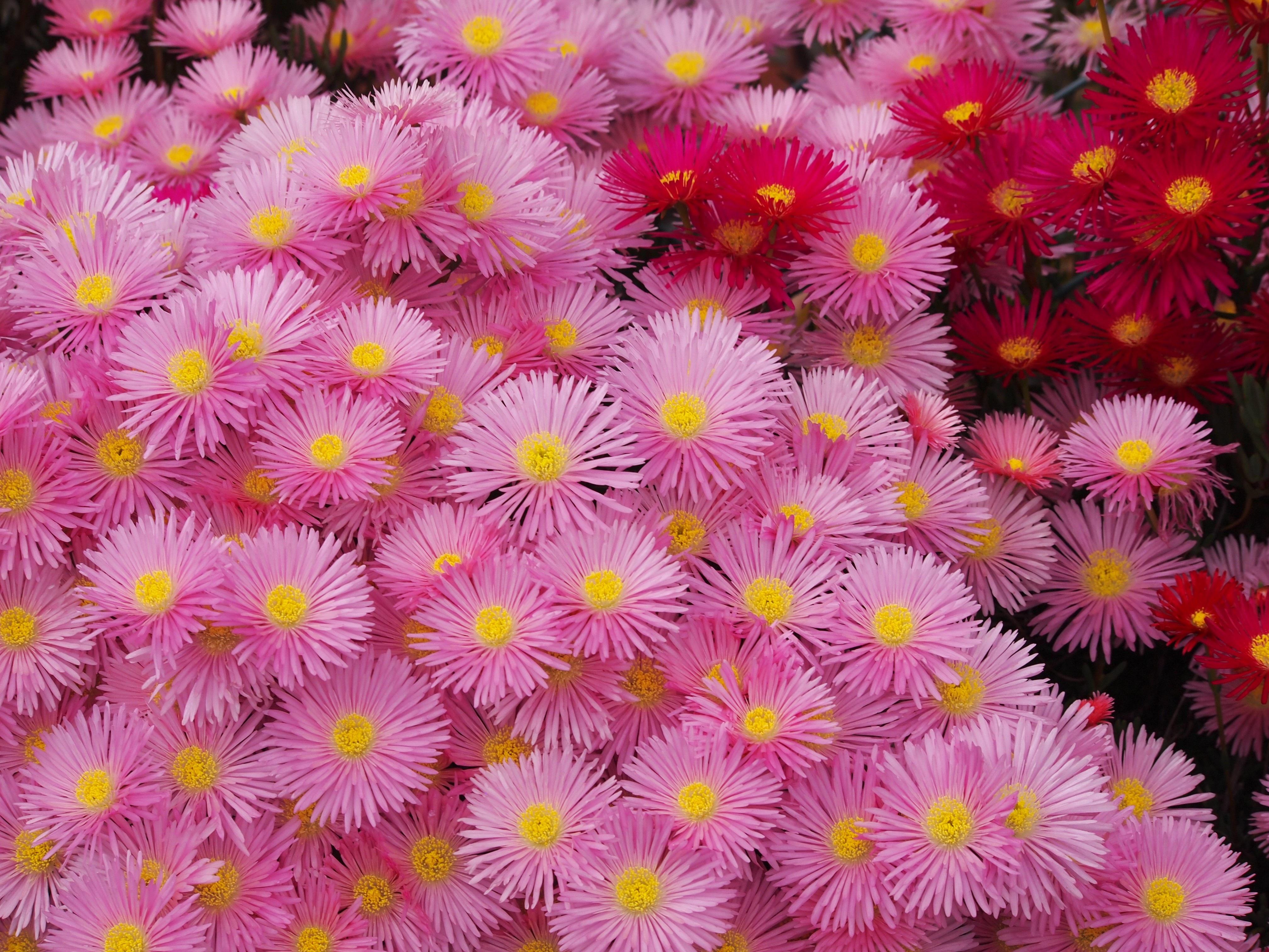 Gambar Menanam Daun Bunga Bunga Aster Hijau Botani Kuning