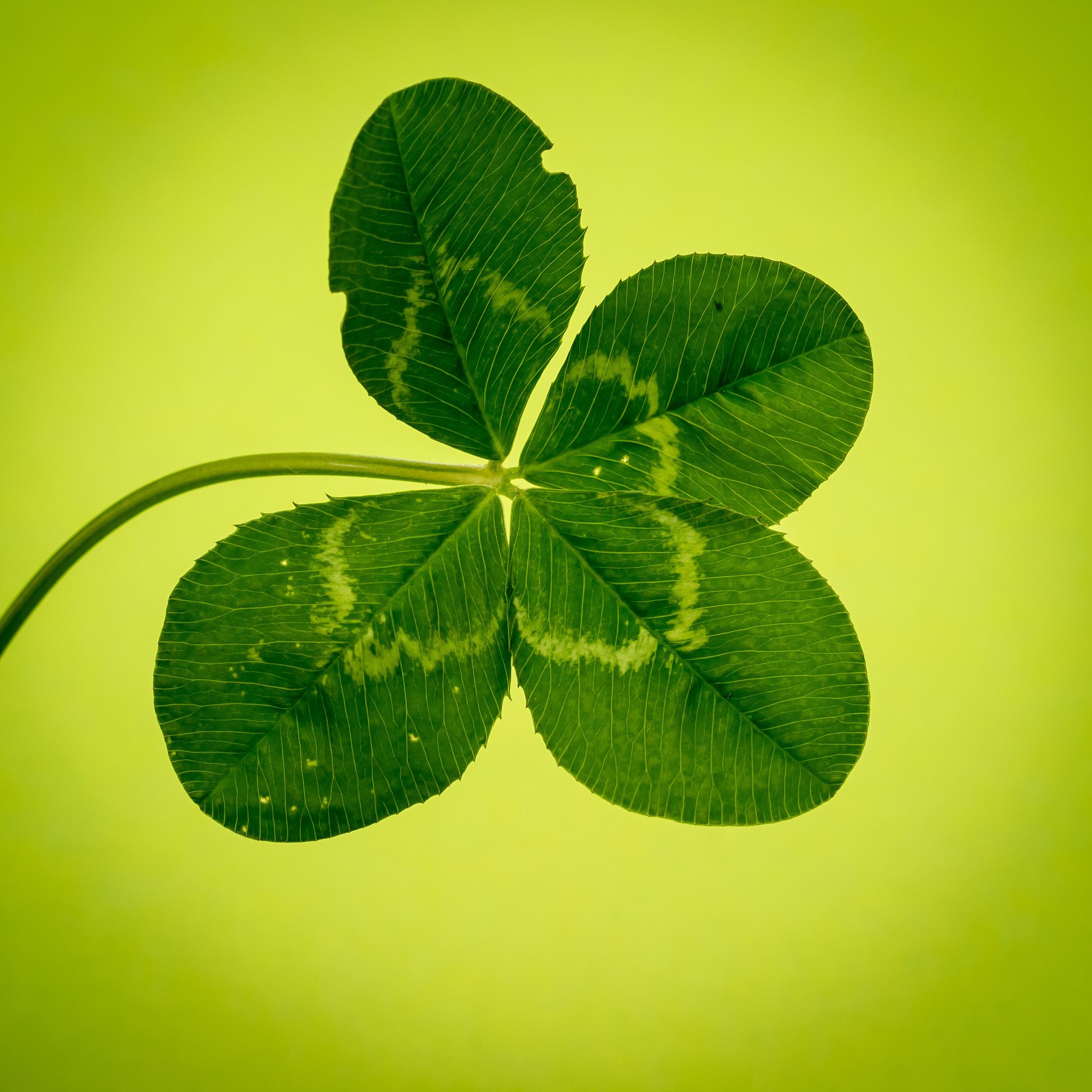 Free Images Flower Petal Green Herb Symbol Flora Luck Klee